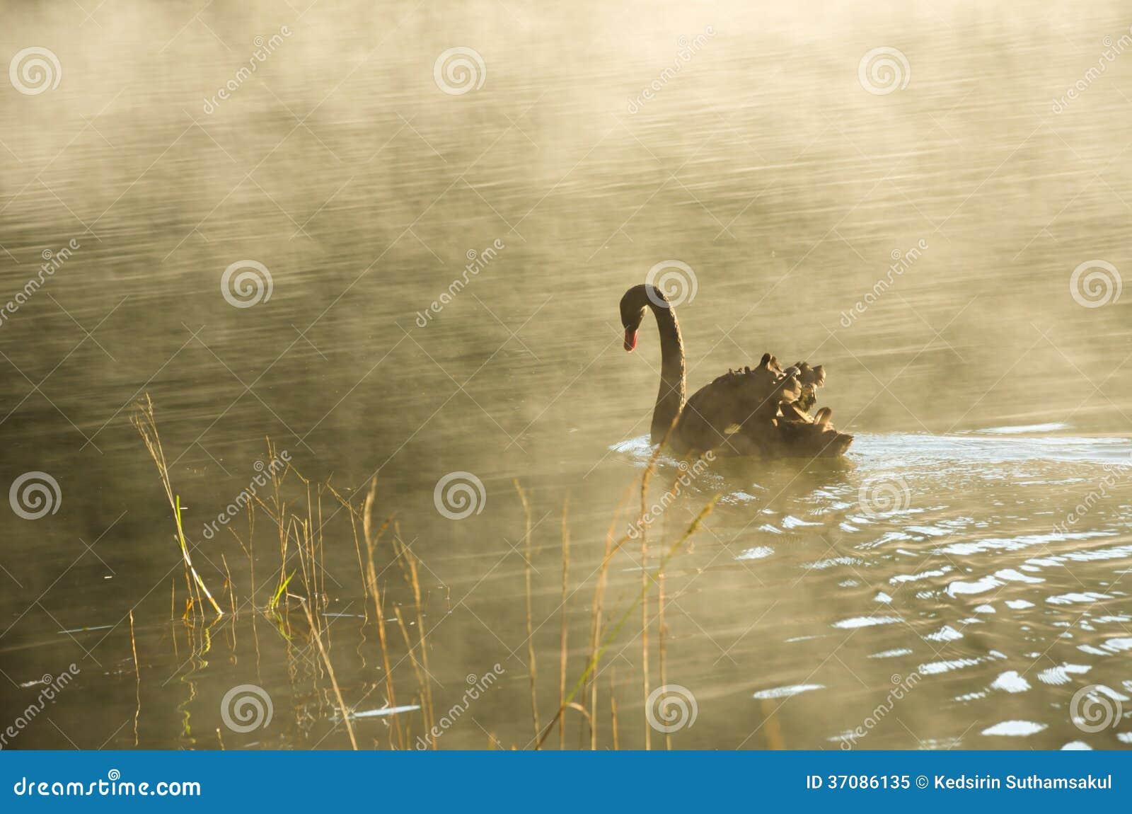 Download Czarnego łabędź Dopłynięcie Obraz Stock - Obraz złożonej z staw, natura: 37086135