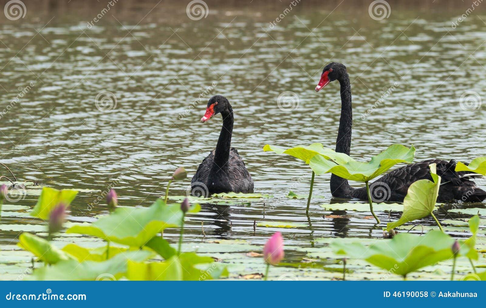 Czarnego łabędź pary