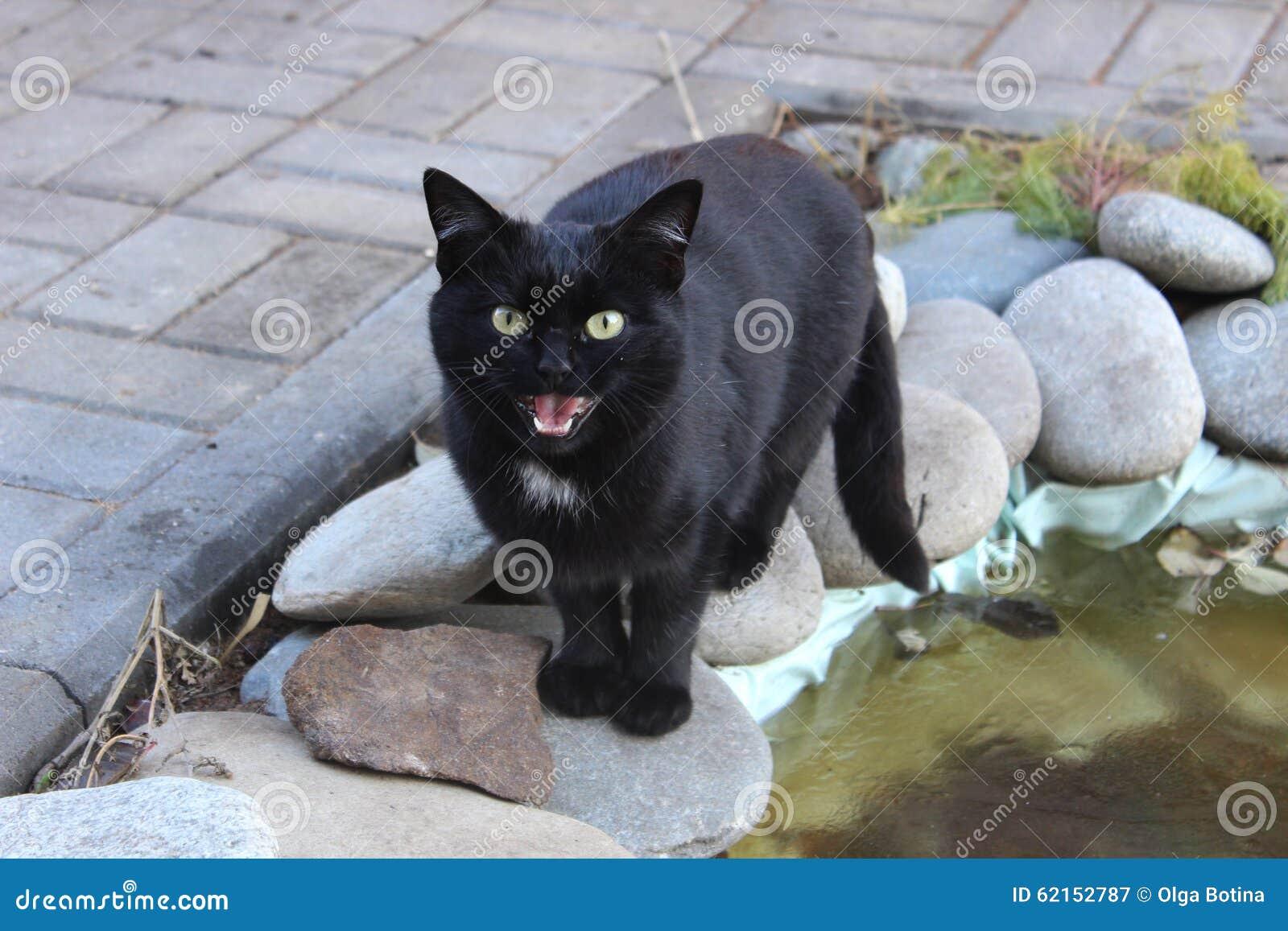 Czarnego kota meows