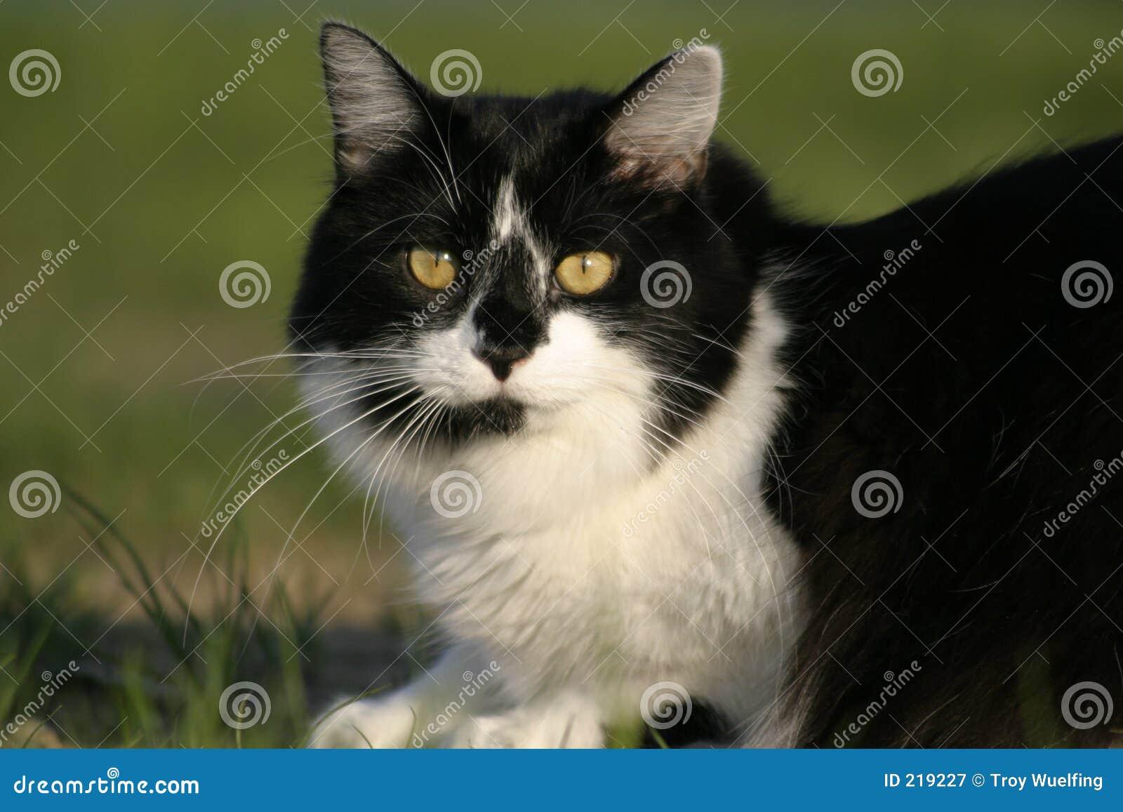 Czarnego kota, trawa sunning white