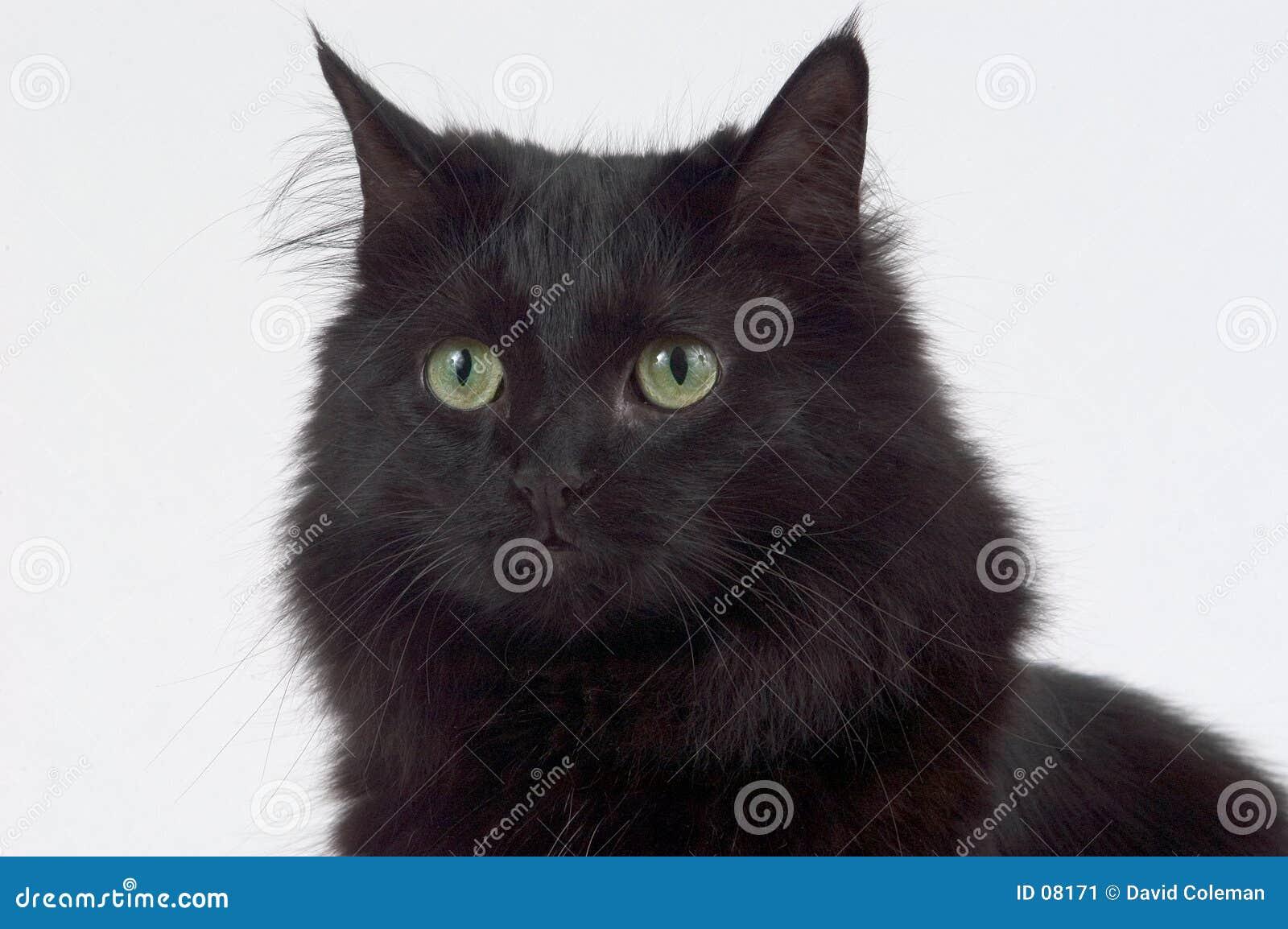 Czarnego kota z bliska