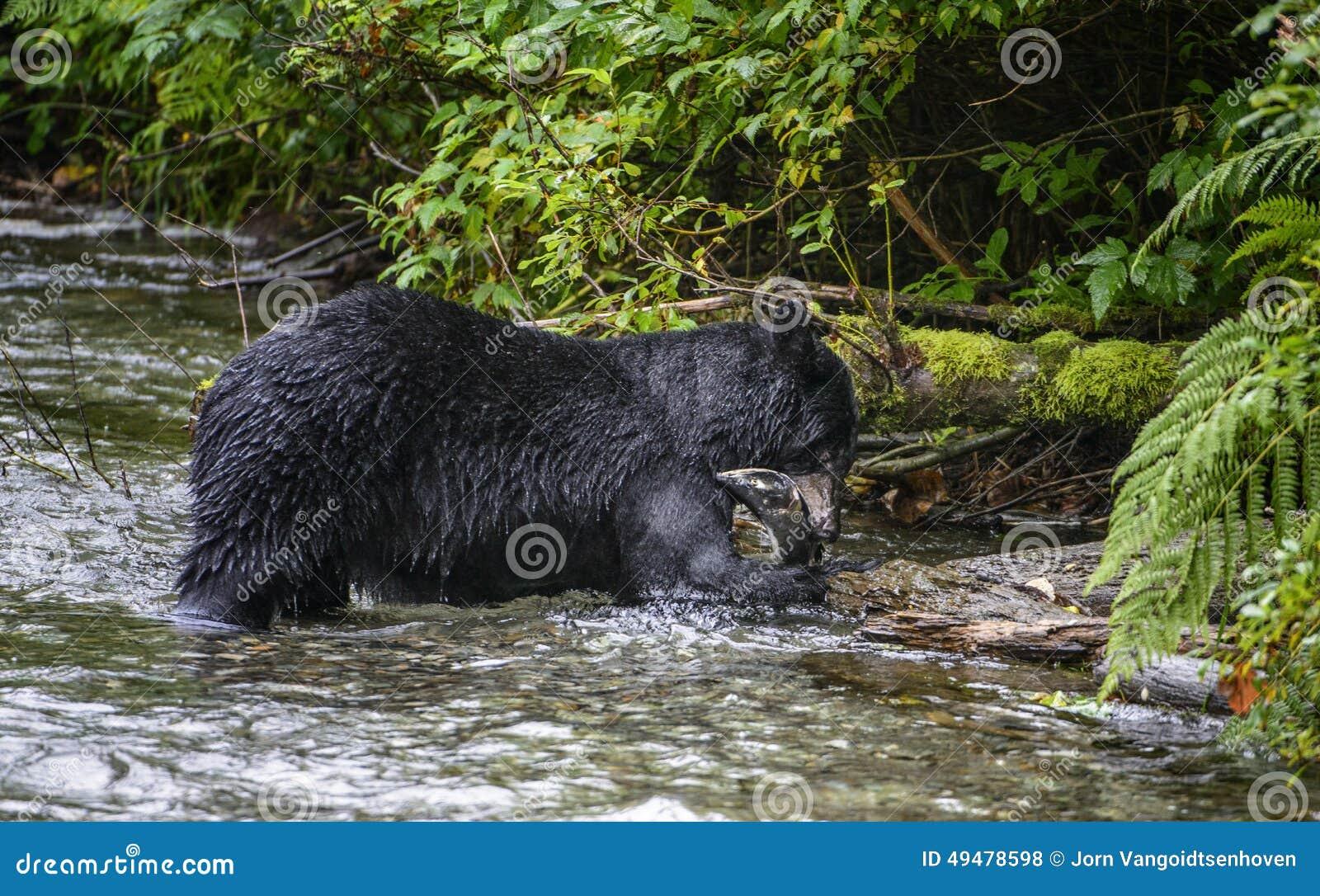 Czarnego niedźwiedzia jeść