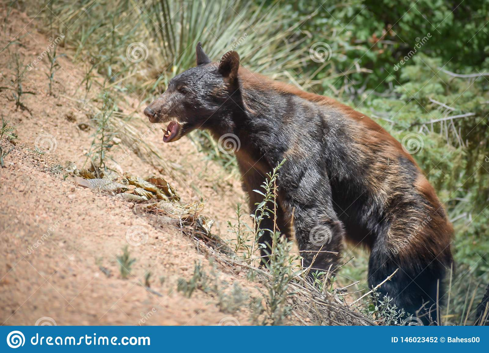 Czarnego niedźwiedzia Otwarty usta na zbocze góry Kolorado