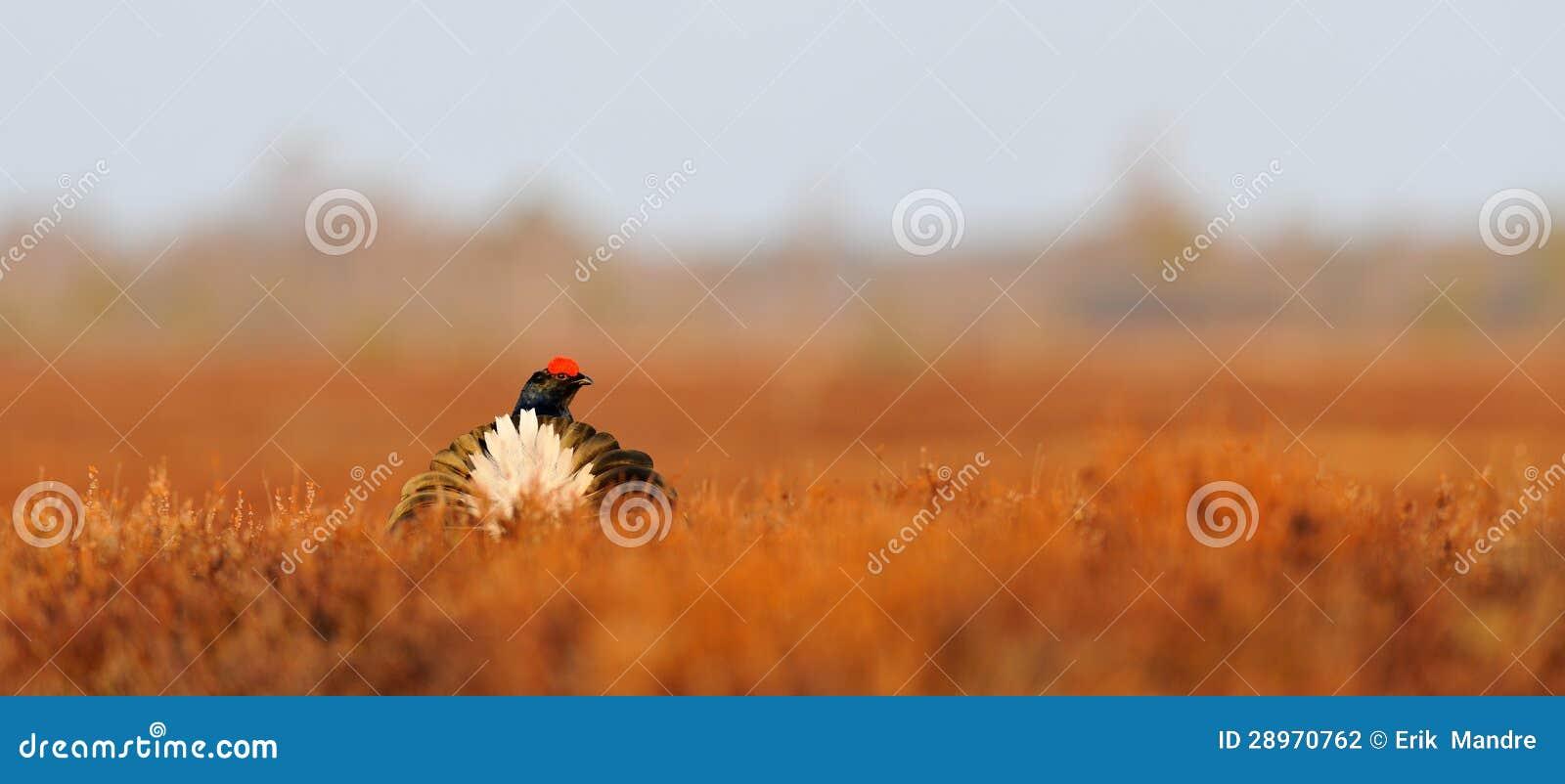Czarnej pardwy ogon