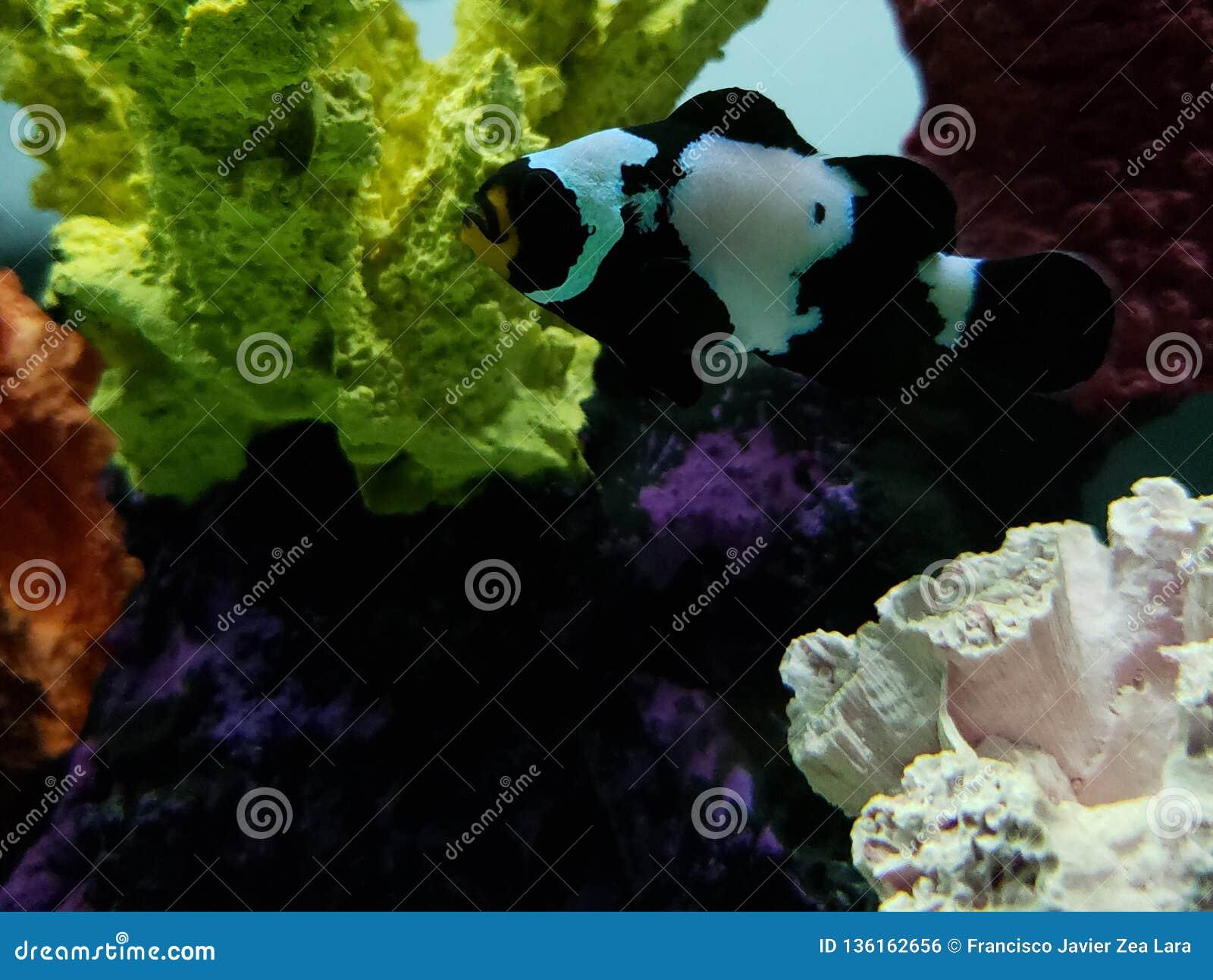 Czarni clownfish w saltwater akwarium