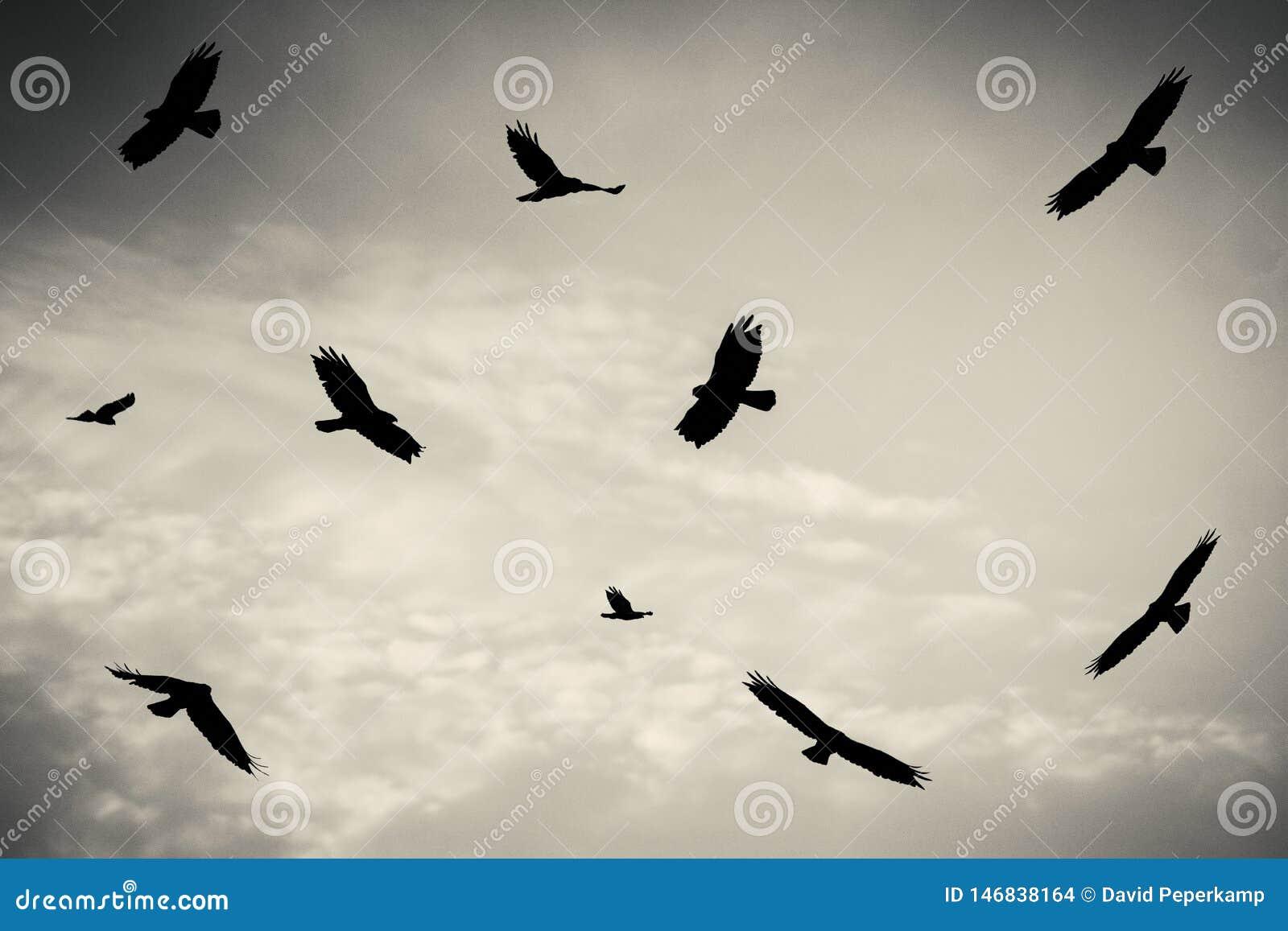 Czarni ptaki w chmurnym niebie, bagno błotniak, ptak zdobycz