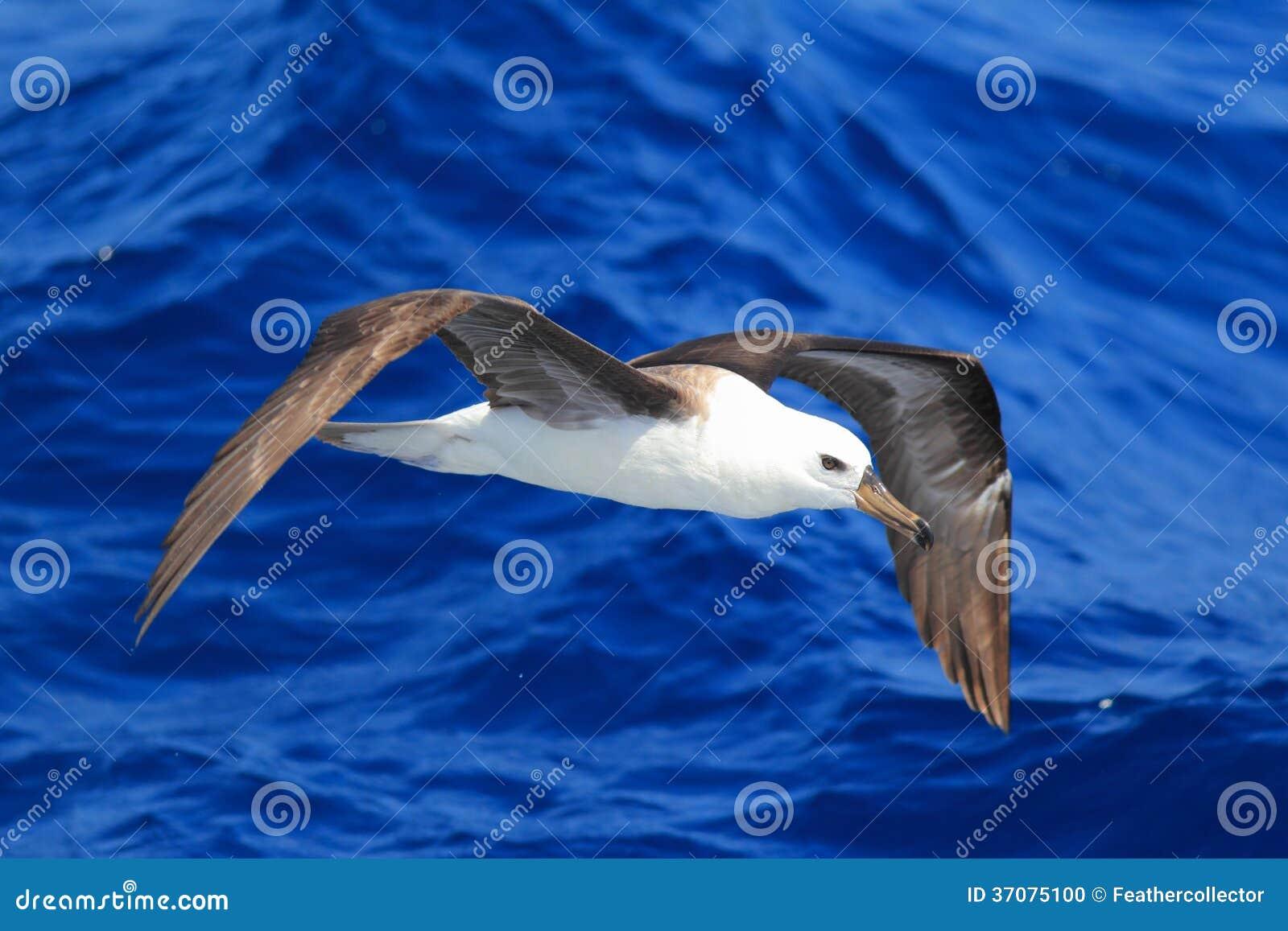 Download Czarnobrewy albatros zdjęcie stock. Obraz złożonej z arden - 37075100