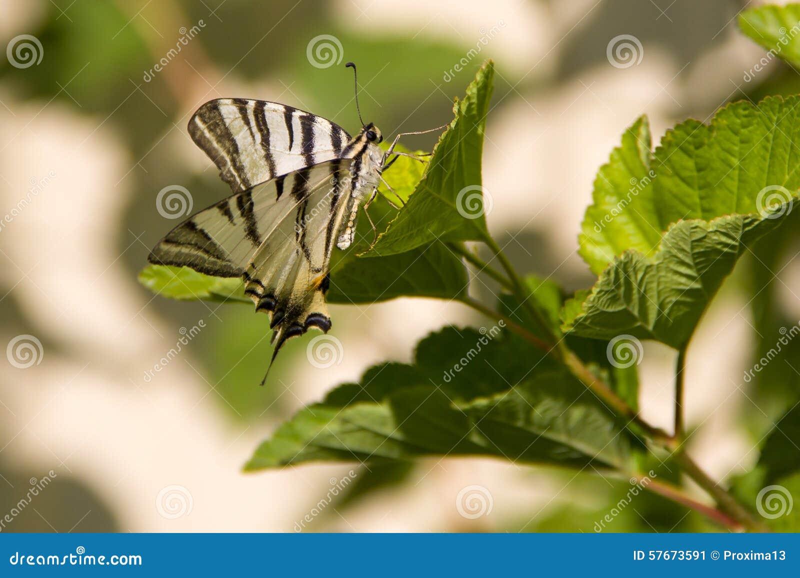 Czarny biały motyl w dzikim