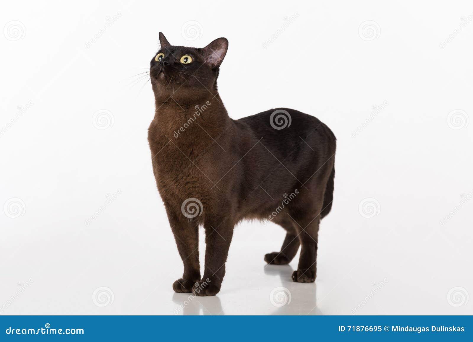 Czarny Birmański Kot Pojedynczy Białe Tło Obraz Stock Obraz