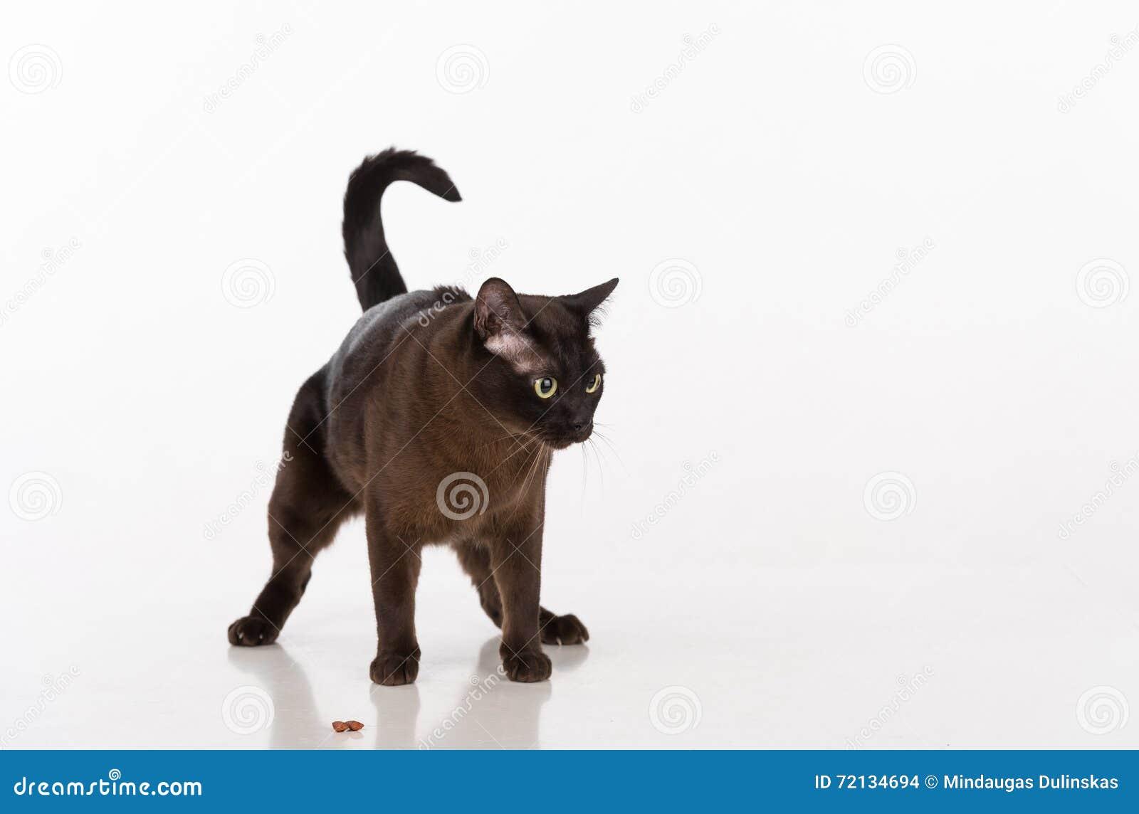 Czarny Birmański Kot Z Jedzeniem Pojedynczy Białe Tło Zdjęcie Stock