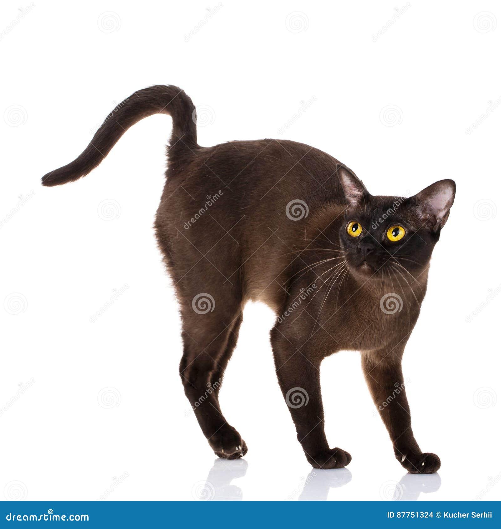 Czarny Birmański Kot Z Kolorem żółtym Przygląda Się Pozycję Na