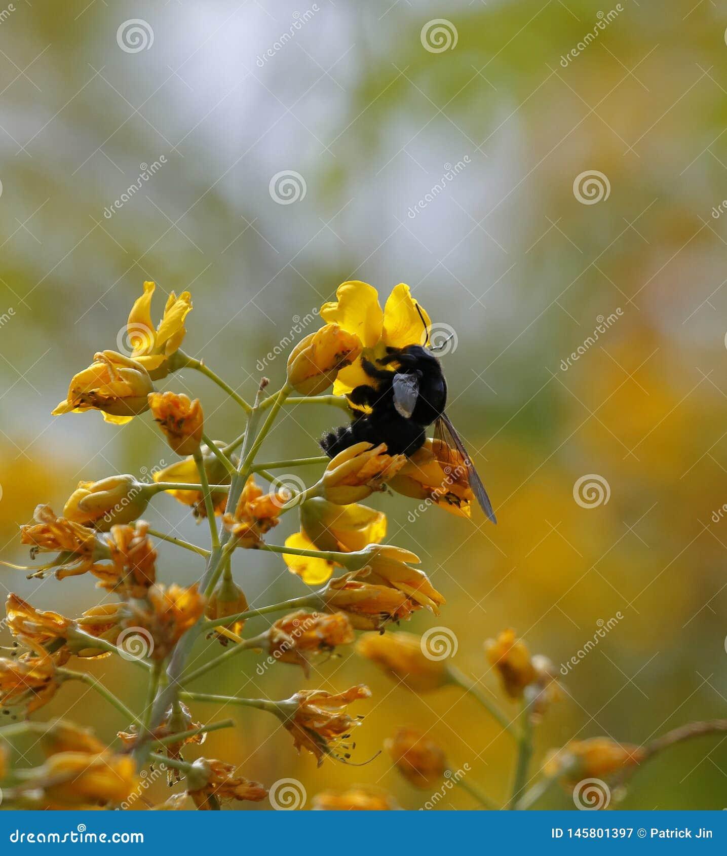 Czarny bumblebee na żółtym kwiacie