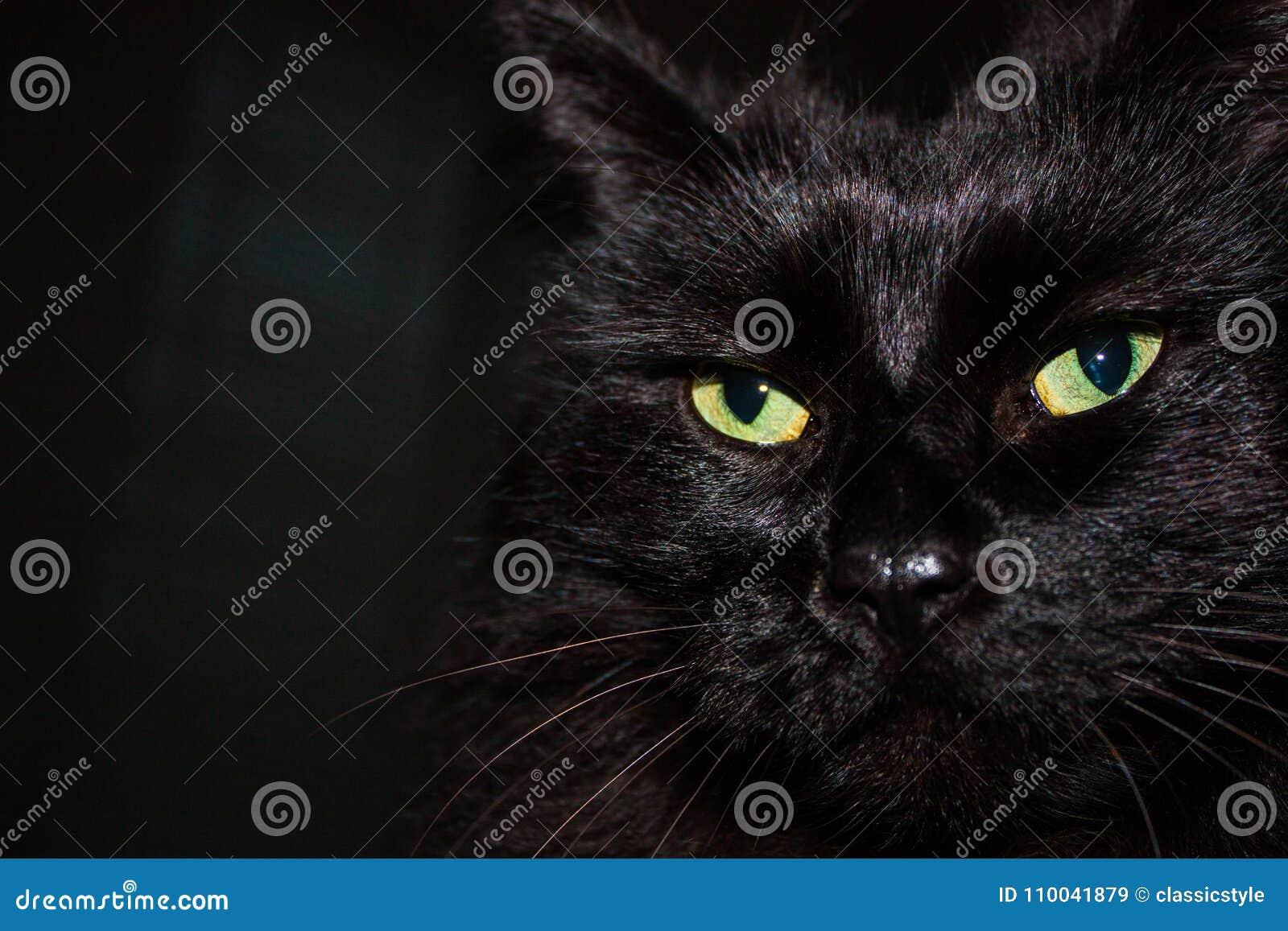 Czarny Himalajski kot twarzy zakończenie up
