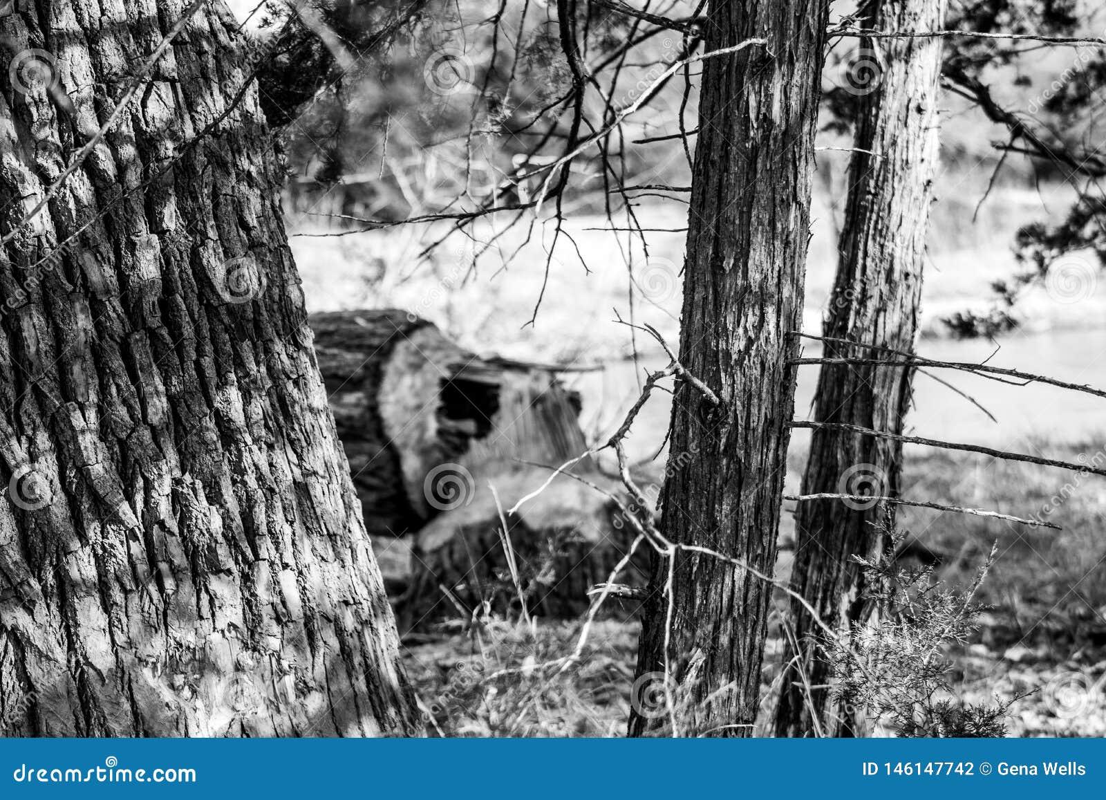 Czarny i biały fotografia rżnięty puszka drzewo bobrami