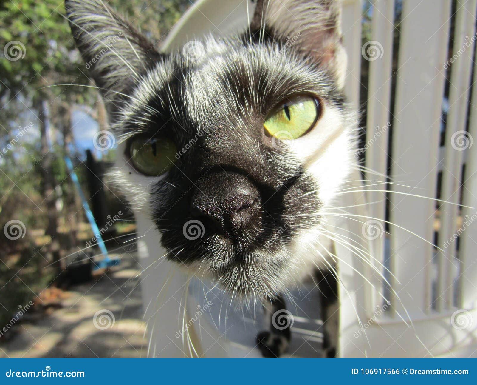 Czarny i biały kot w Brazylia Ameryka Południowa