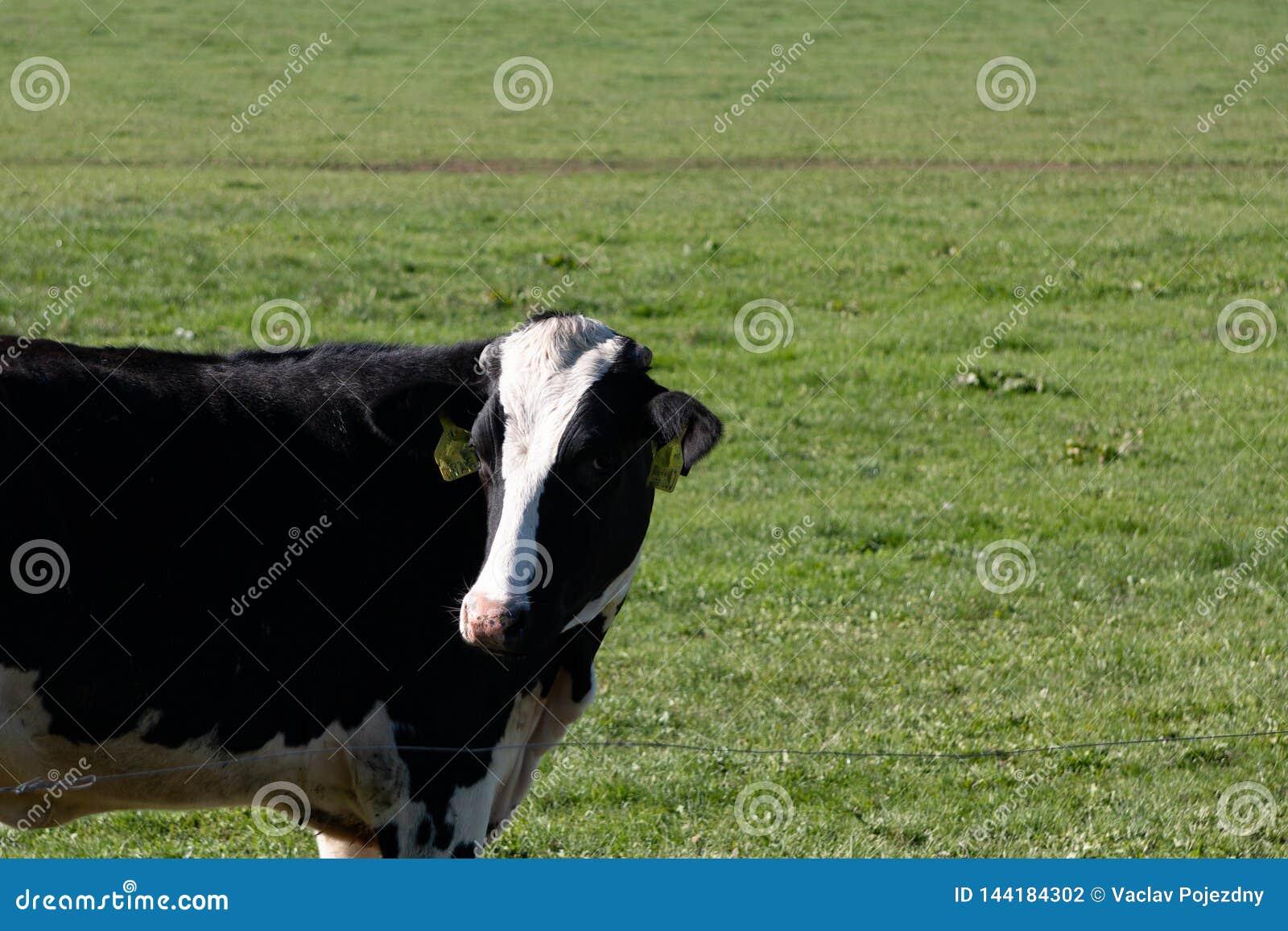 Czarny i biały krowa na łące