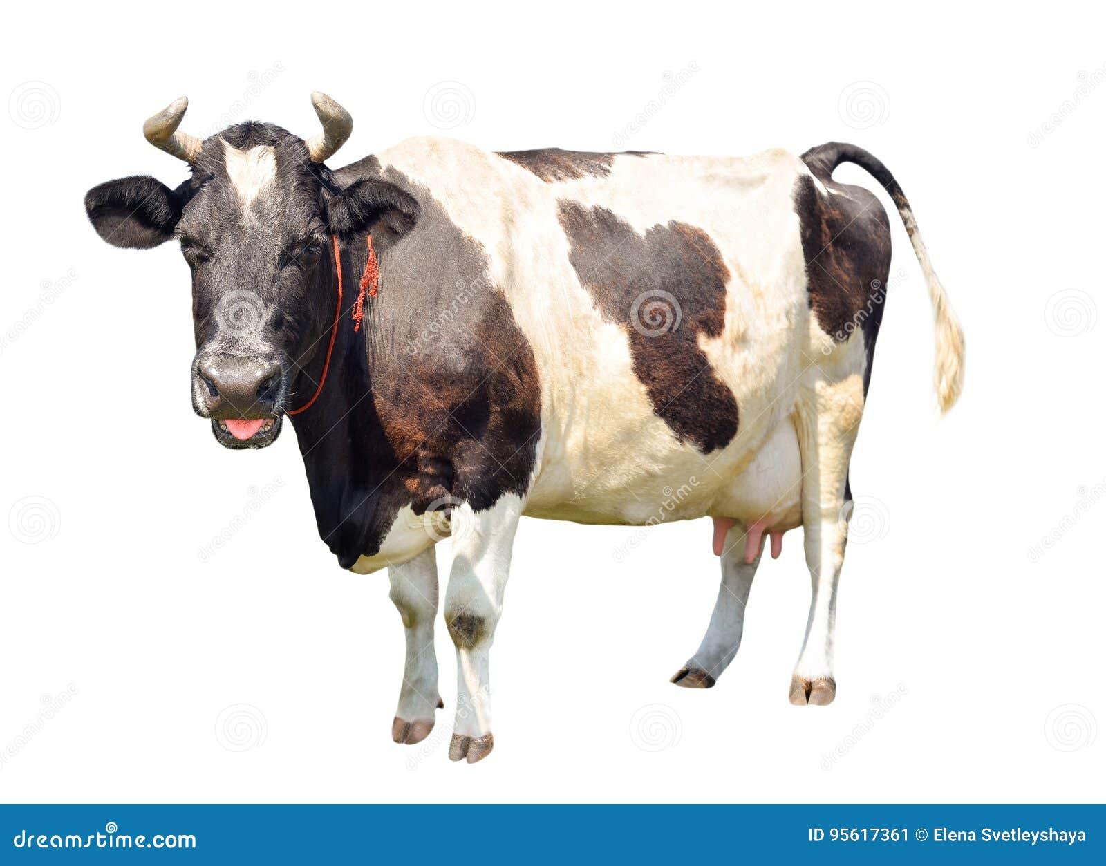 Czarny i biały krowa z wielkim udder odizolowywającym na białym tle Łaciasta śmieszna krowa folował długość odizolowywającą na bi