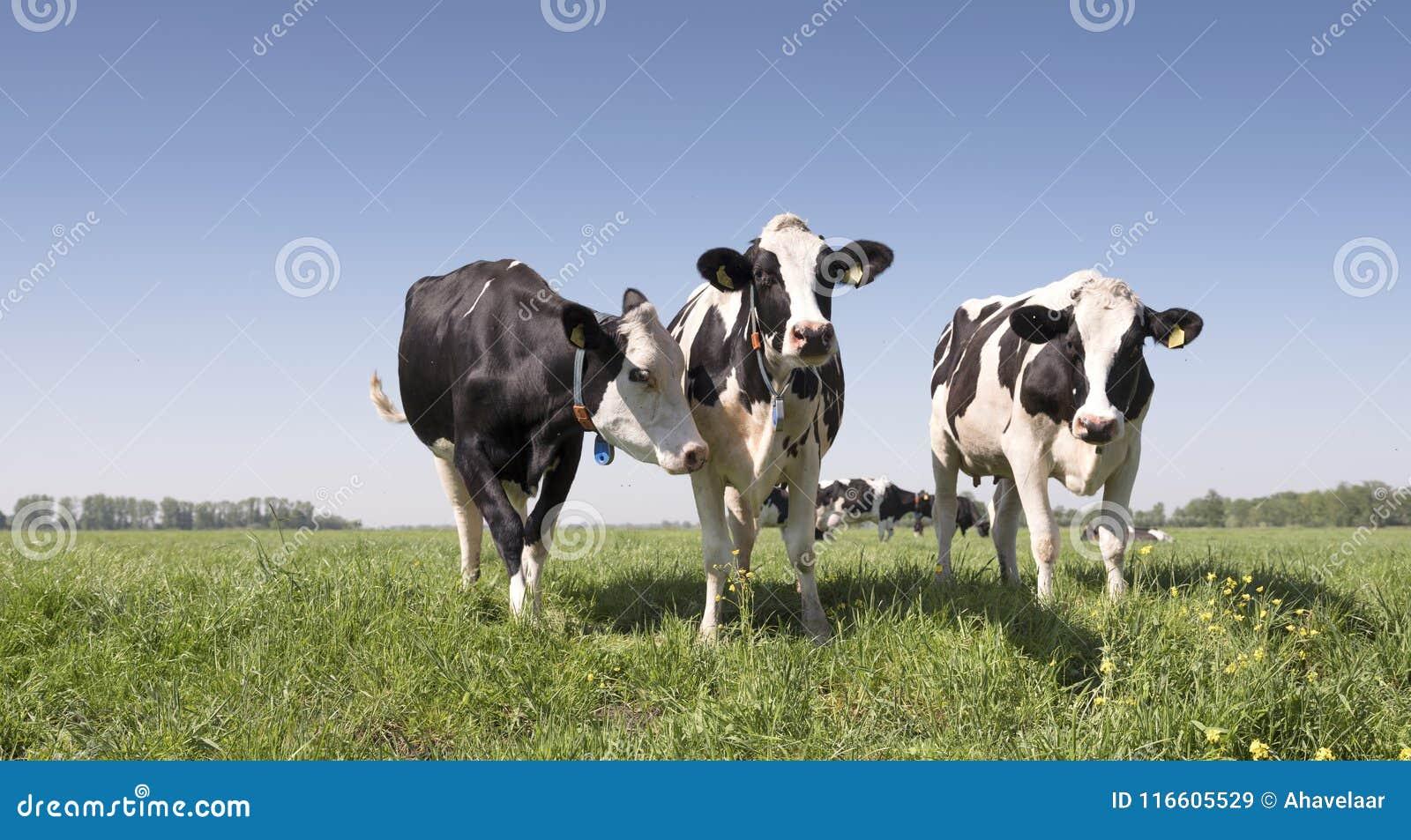 Czarny i biały krowy w zielonej trawiastej holenderskiej łące z niebieskim niebem w holandiach między Utrecht i Leerdam