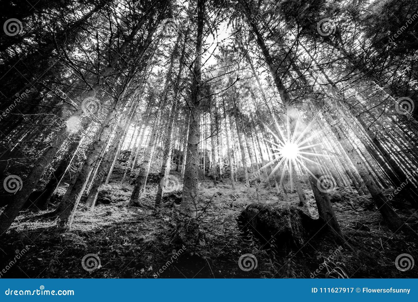 Czarny i biały lata słońca i lasu promienie