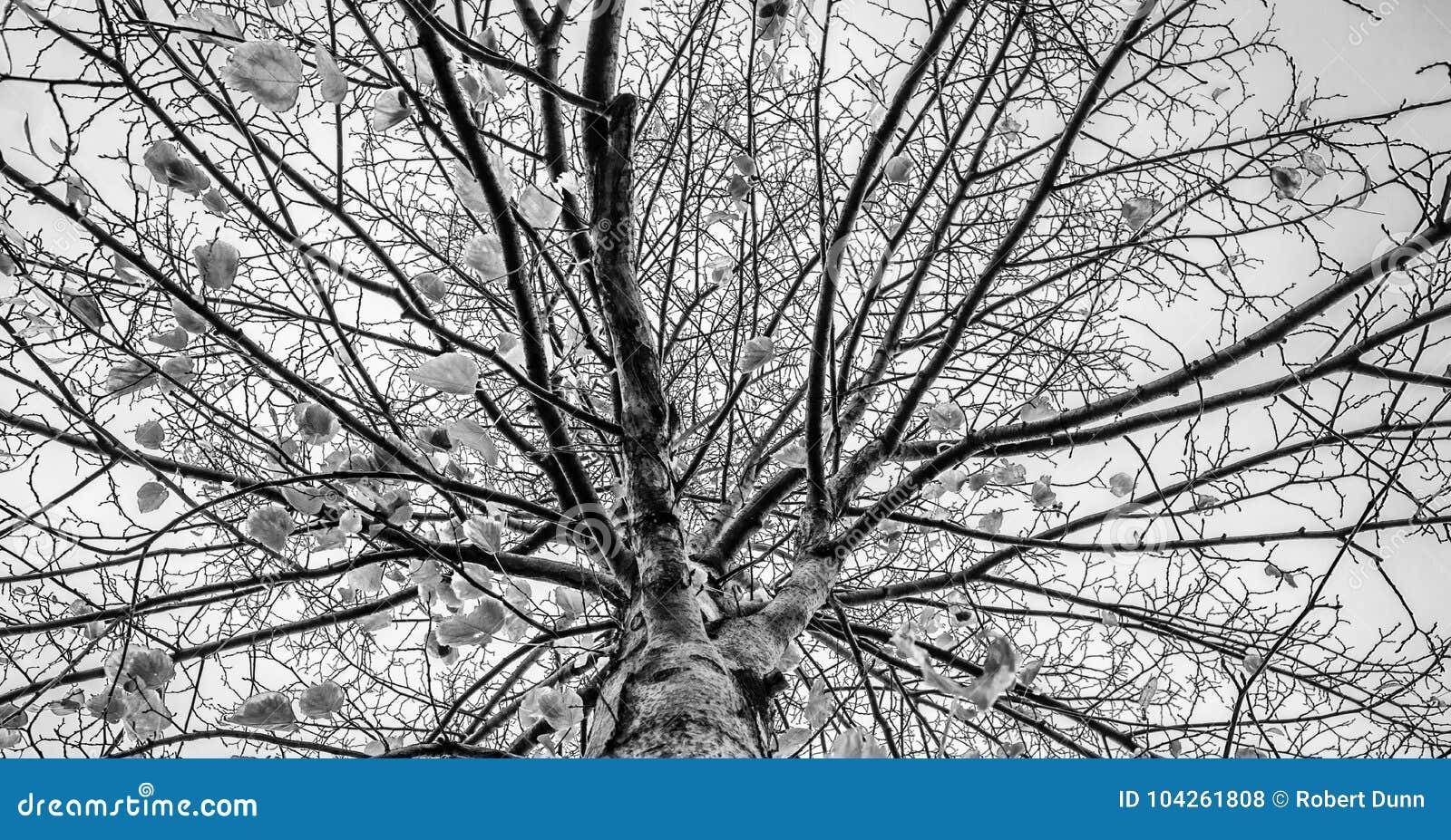 Czarny i biały nagich drzew fotografii sztuki abstrakcjonistyczny rozłam tonuje
