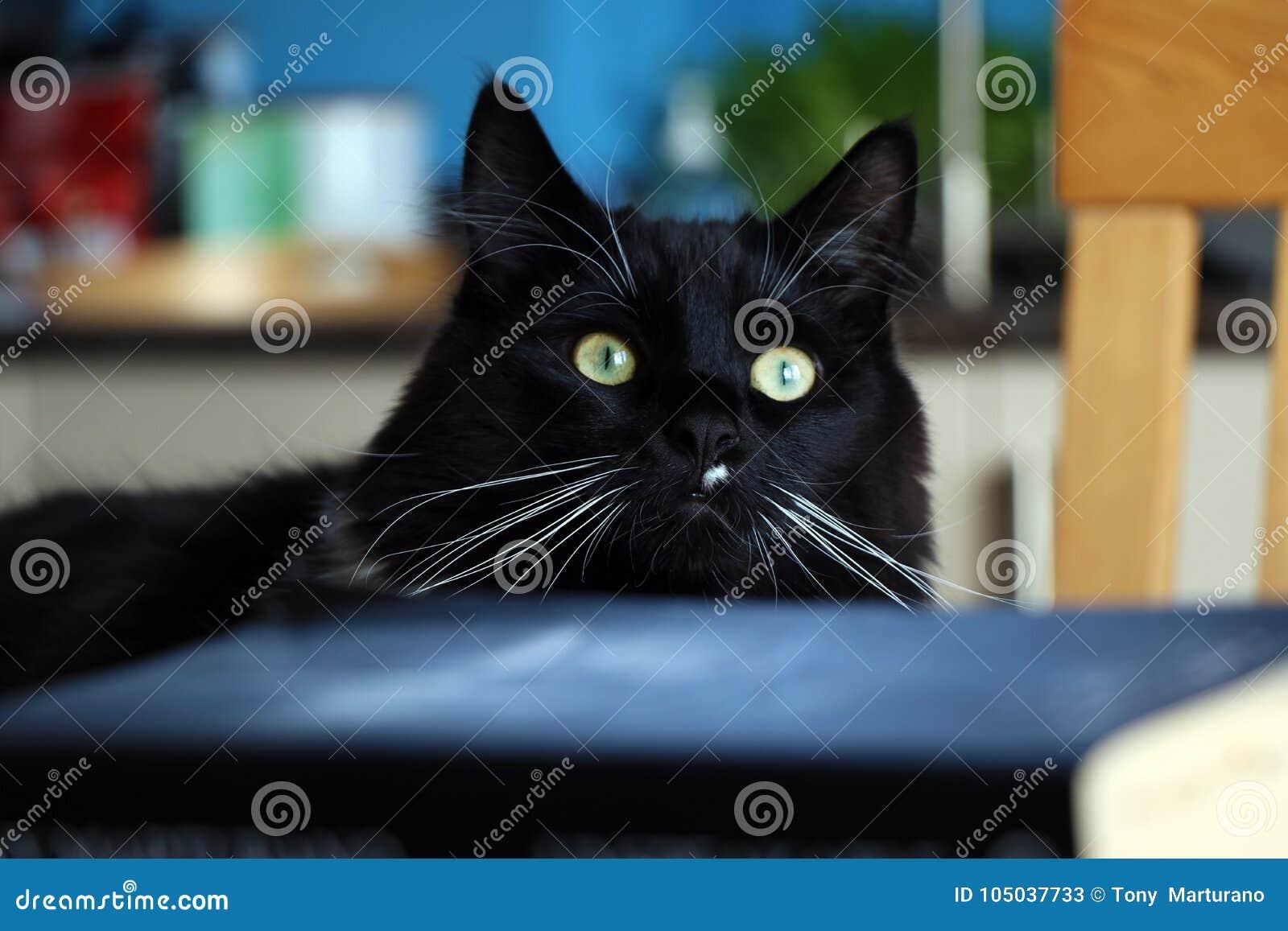 Czarny I Biały Ragdoll Kot I Zamazywać Książki Obraz Stock Obraz