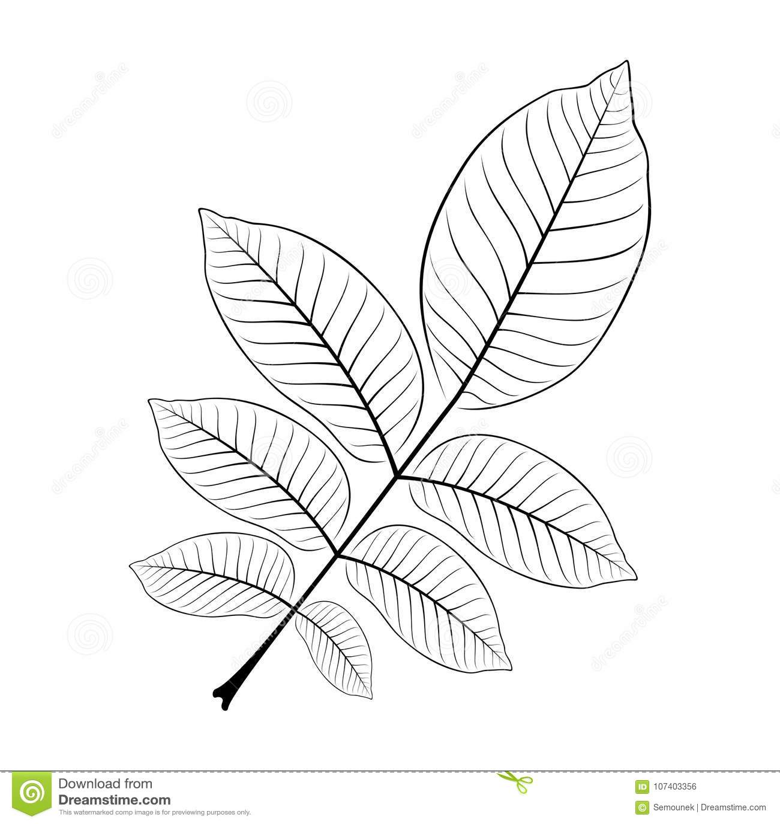 Czarny i biały wektorowa ilustracja orzecha włoskiego liść