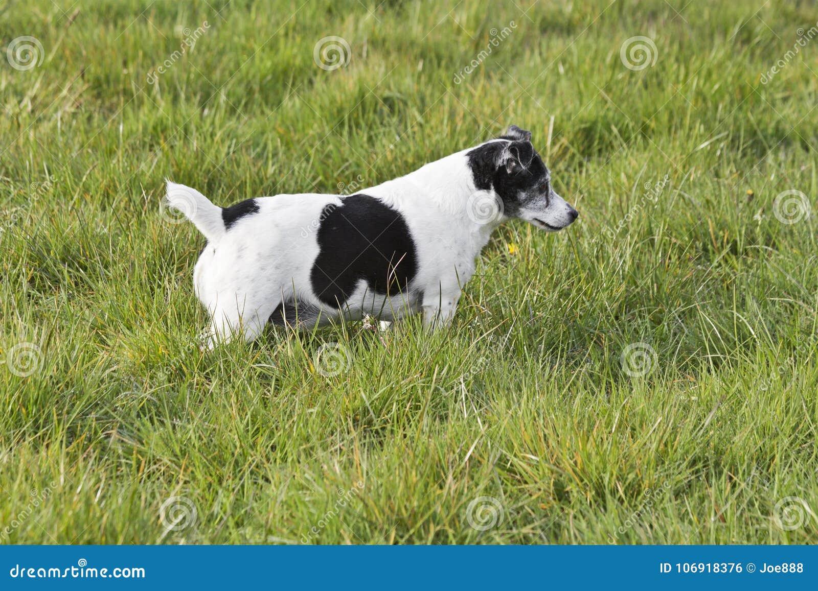 Czarny i biały Jack Russell teriera polowanie