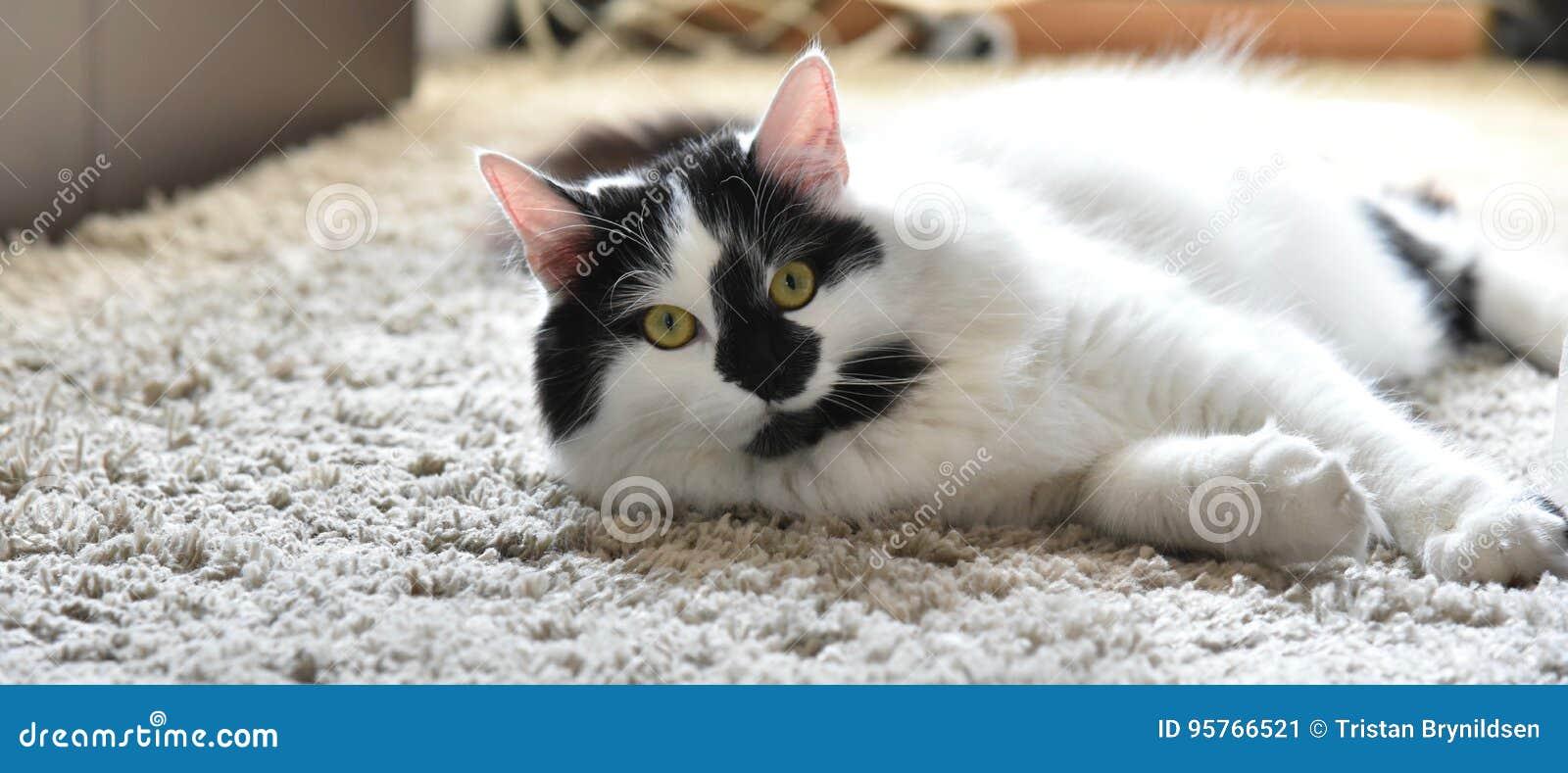 Czarny I Biały Maine Coon Kot Obraz Stock Obraz Złożonej Z