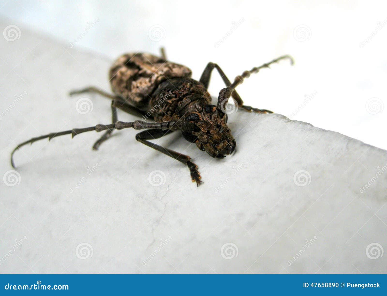 Czarny insekt