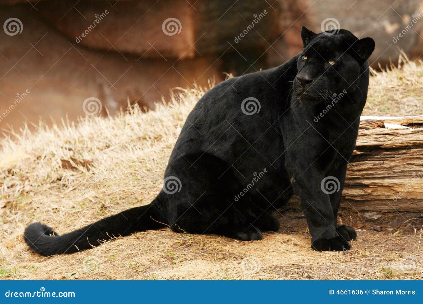 Czarny jaguara