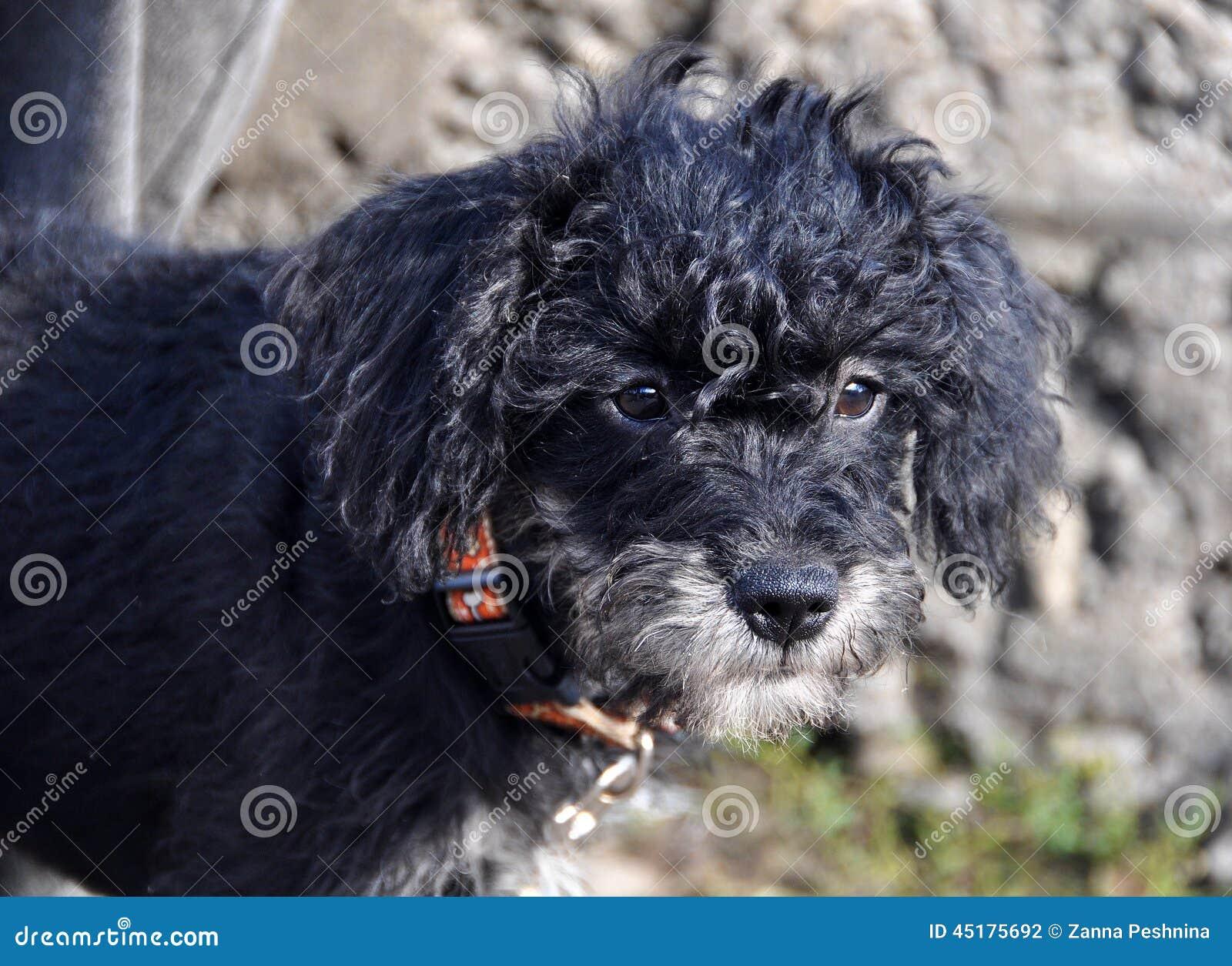 Czarny kędzierzawy szczeniak
