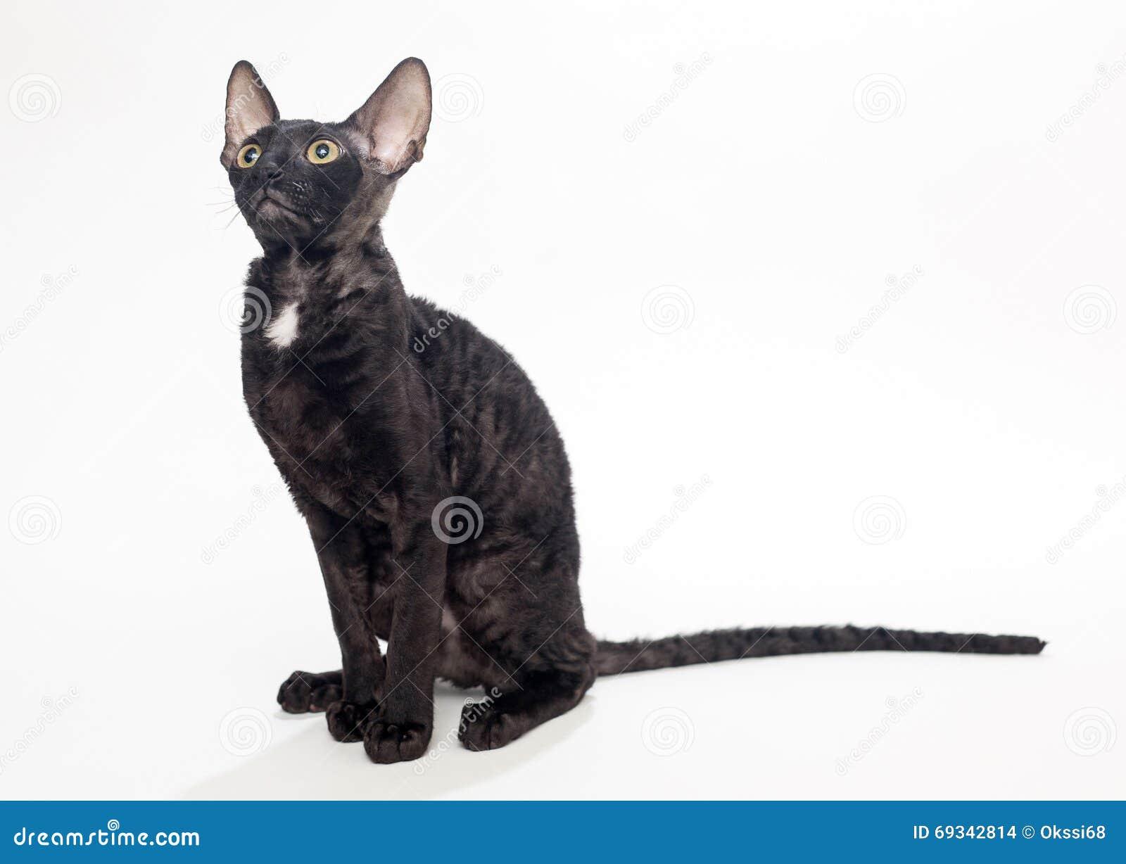 Czarny Kot Kornwalijski Rex Zdjęcie Stock Obraz Złożonej Z Uroczy