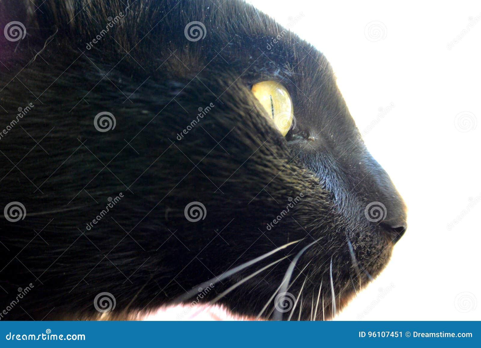 Czarny kot przygląda się złotego