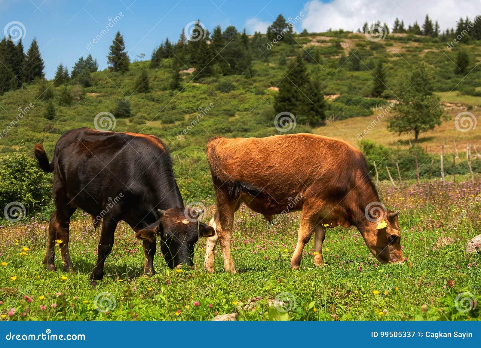 Czarny krów futerkowy pasania jeden deresz dwa