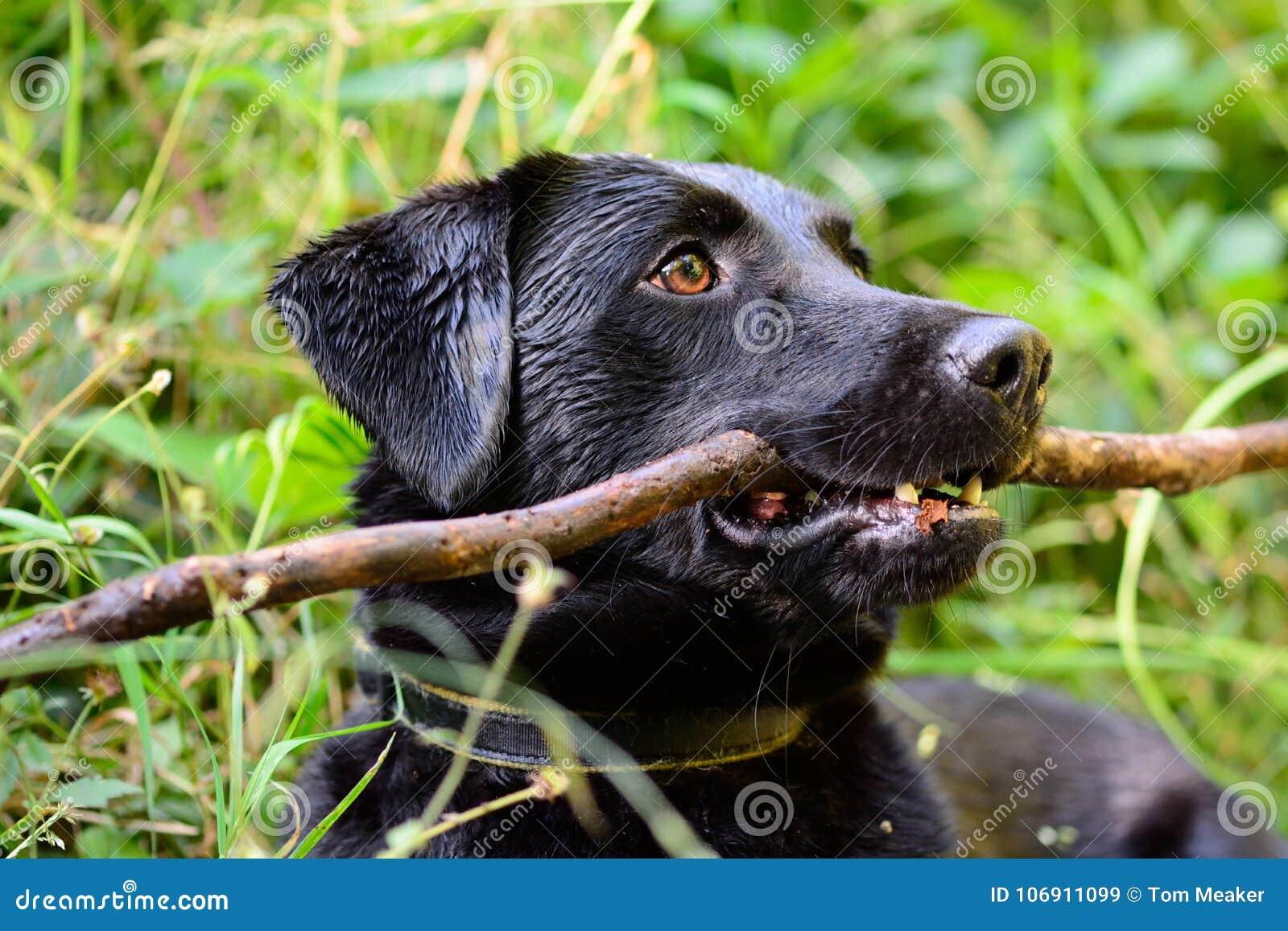Czarny labrador z kijem