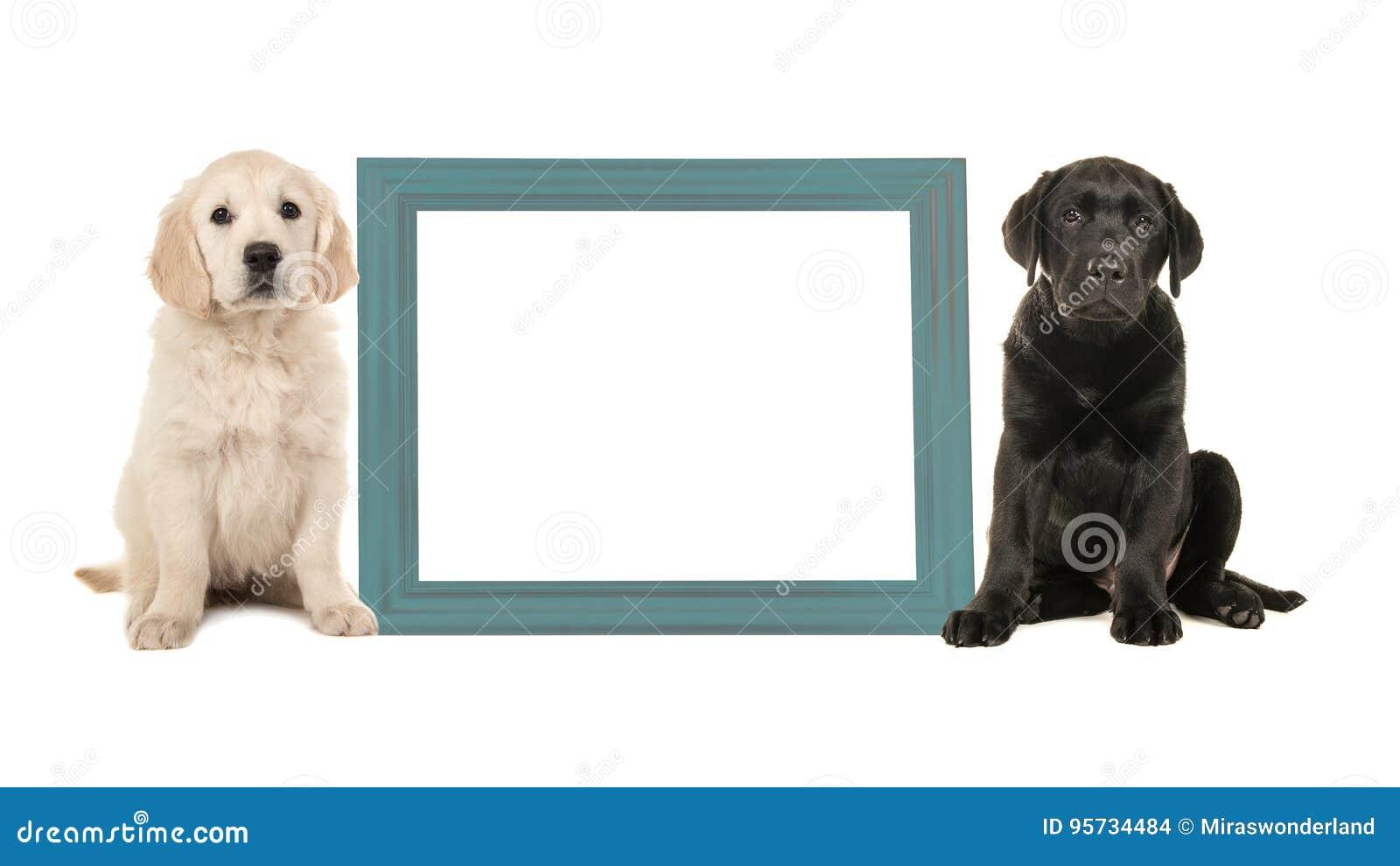 Czarny labradora szczeniaka psa i golden retriever szczeniaka obsiadanie obok błękitnej pustej obrazek ramy