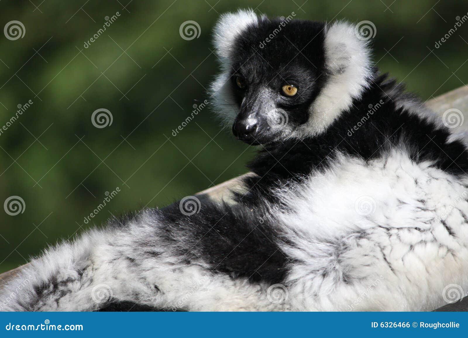 Czarny lemura white