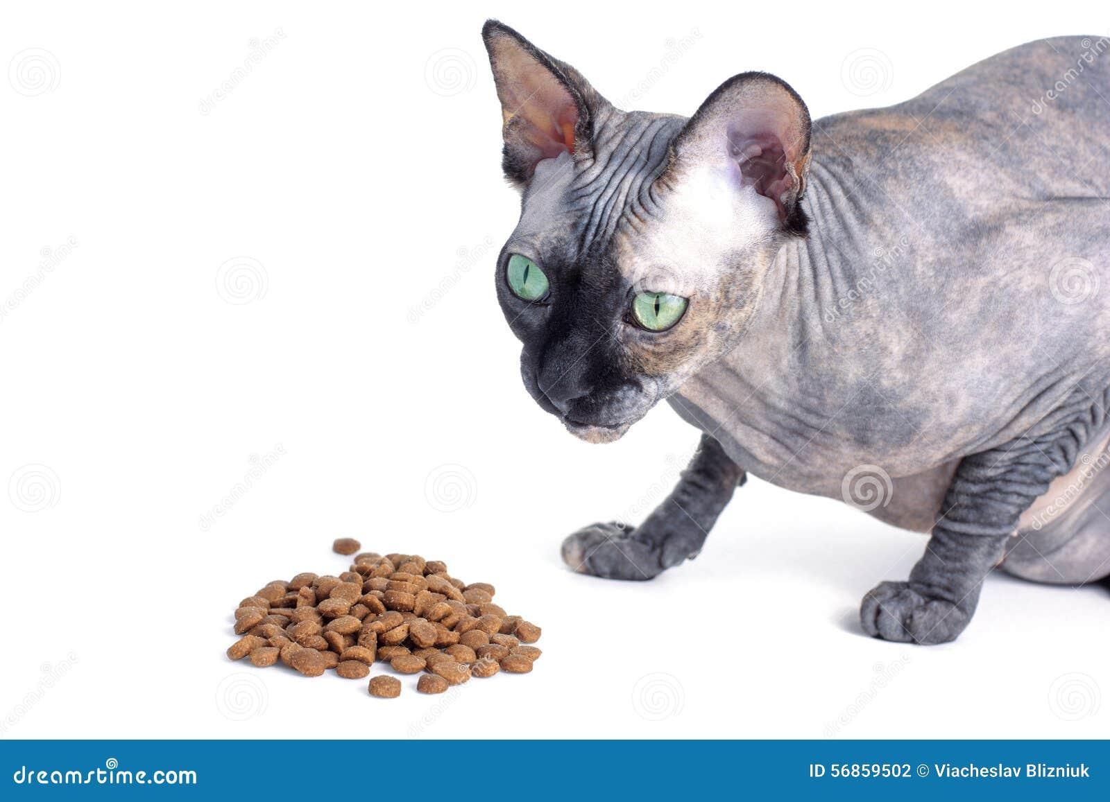 Czarny Lub Błękitny Kanadyjski Sphynx Kot Je Suchego Kota Jedzenie Z