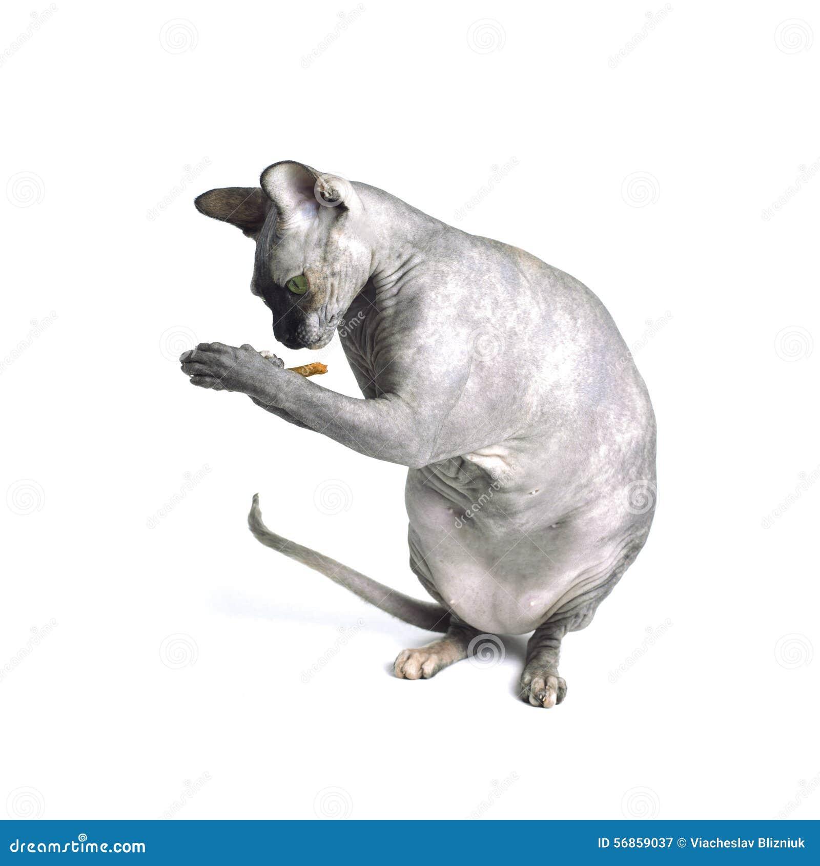 Czarny Lub Błękitny Kanadyjski Sphynx Kot Z Zielonymi Oczami