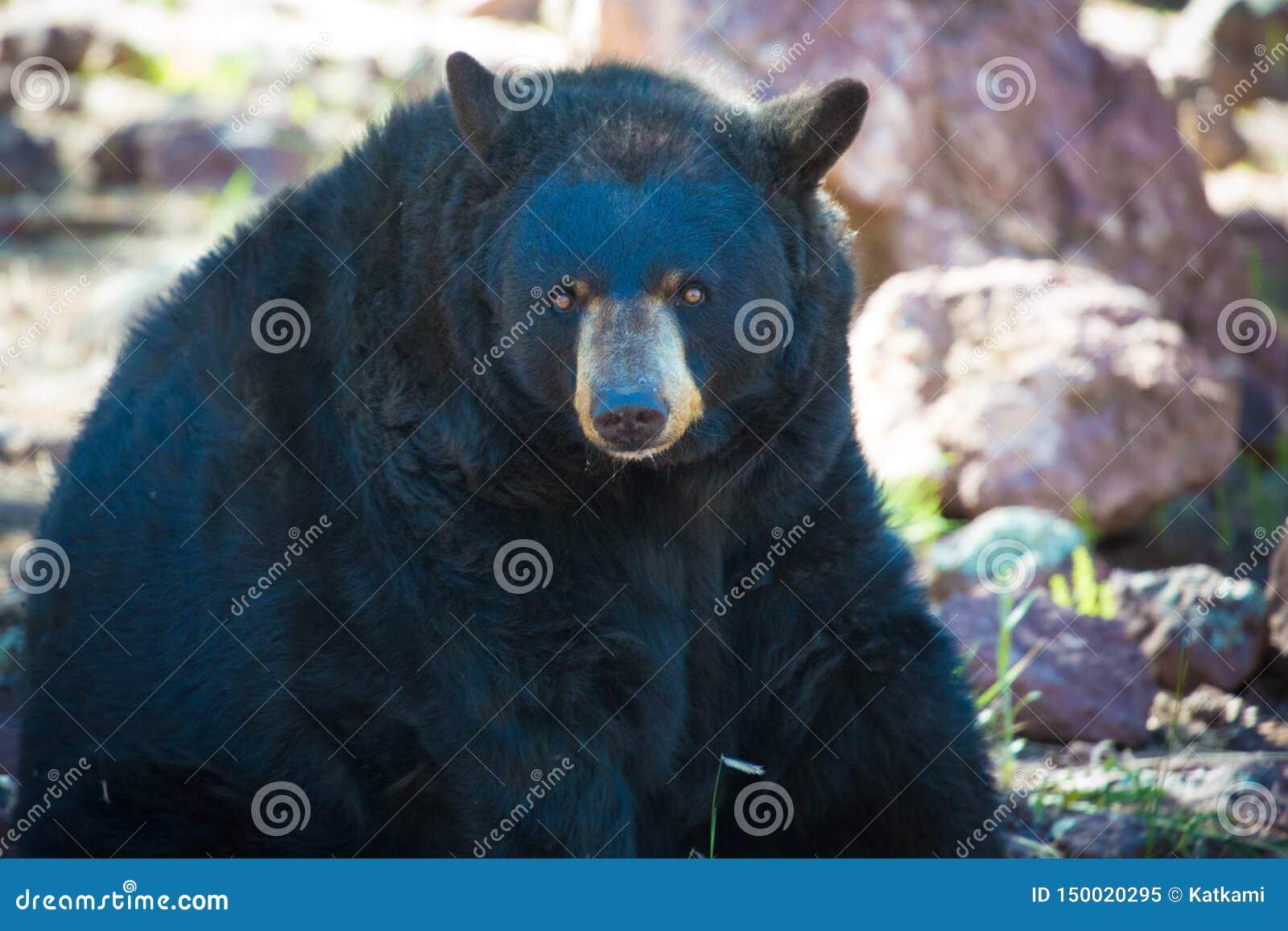 Czarny niedźwiedź Siedzi w zoo