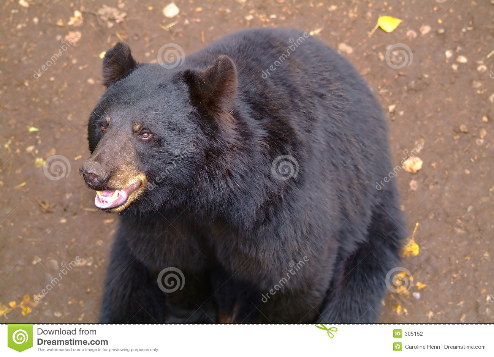 Czarny niedźwiedź szczęśliwy