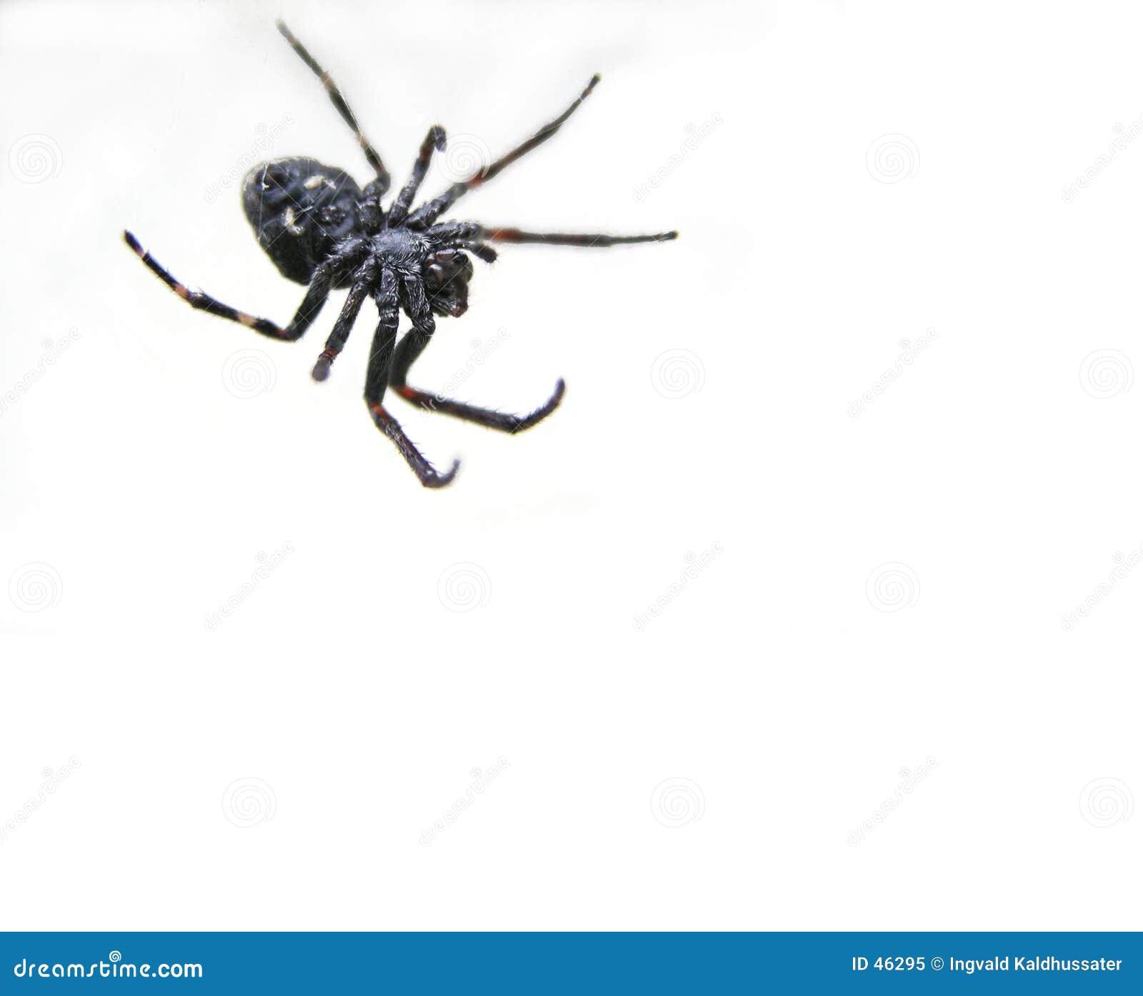 Czarny pająk