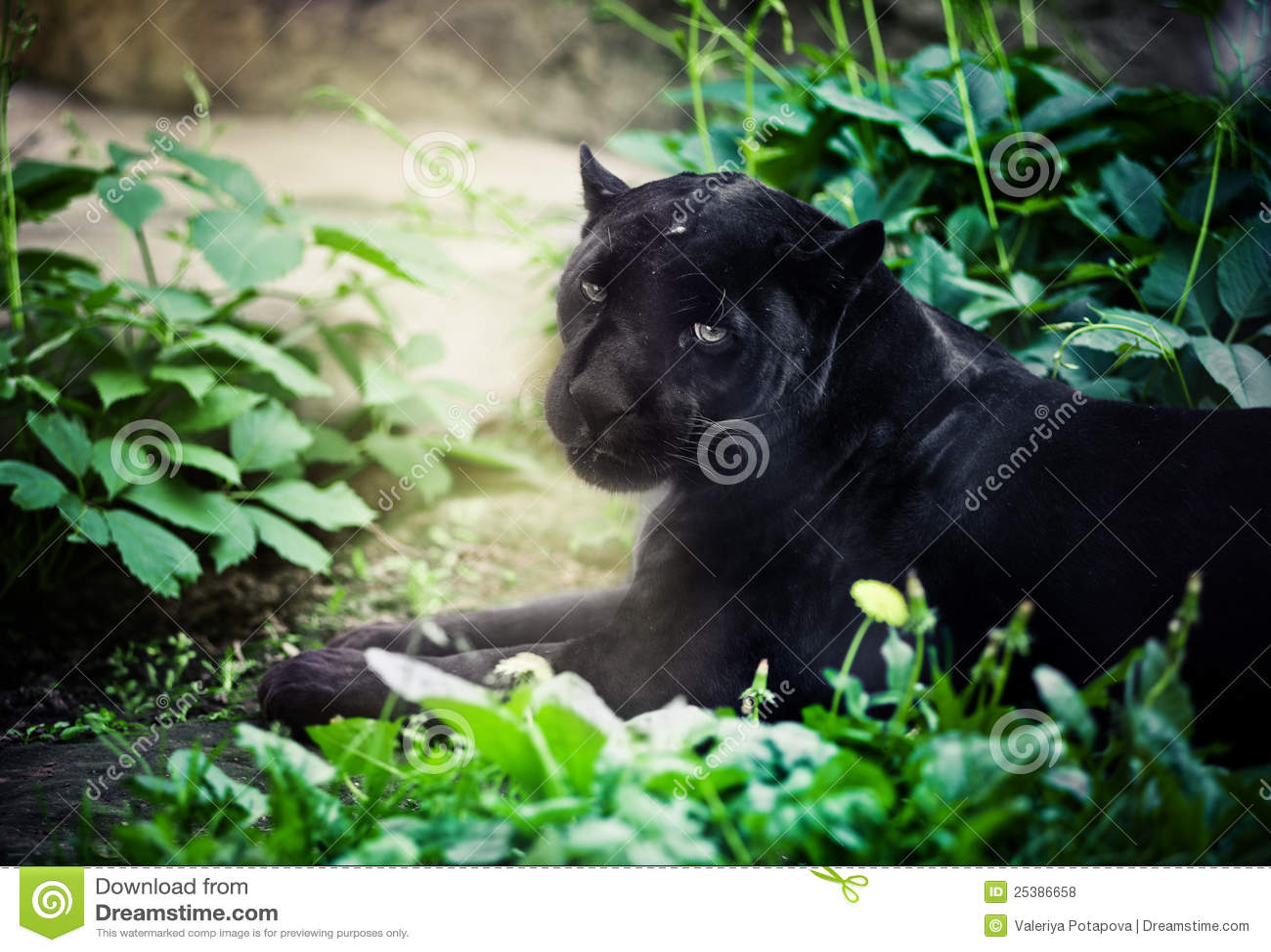Czarny pantera