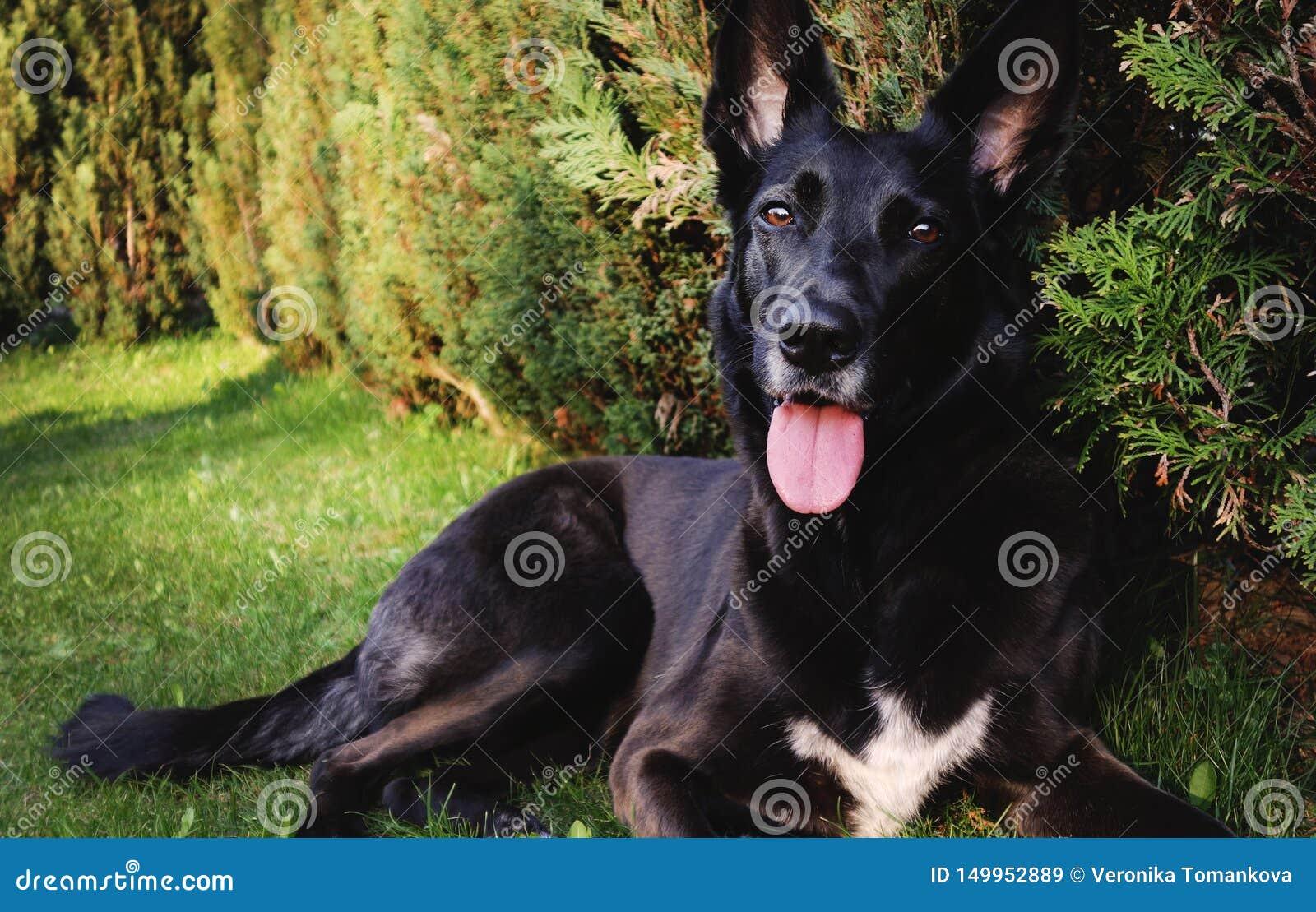 Czarny pasterski pies na ogródzie