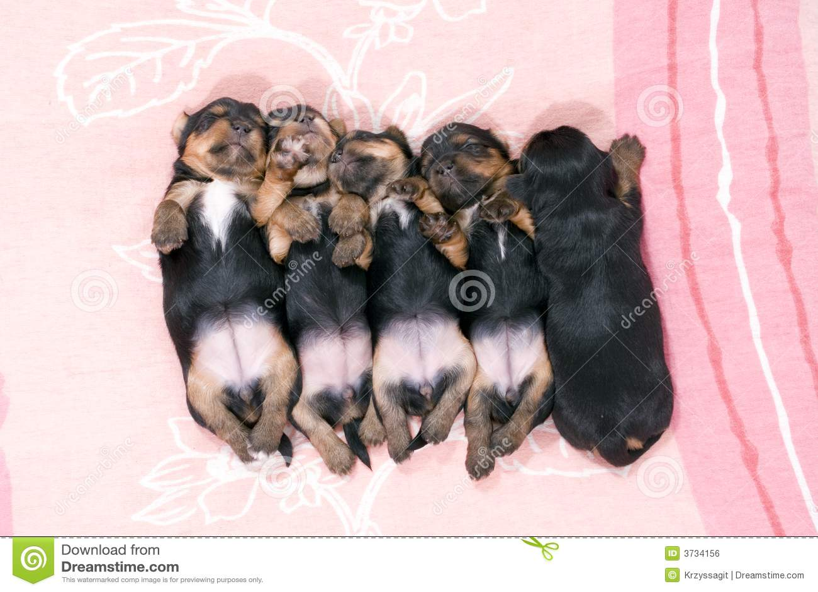 Czarny pięć szczeniąt spać