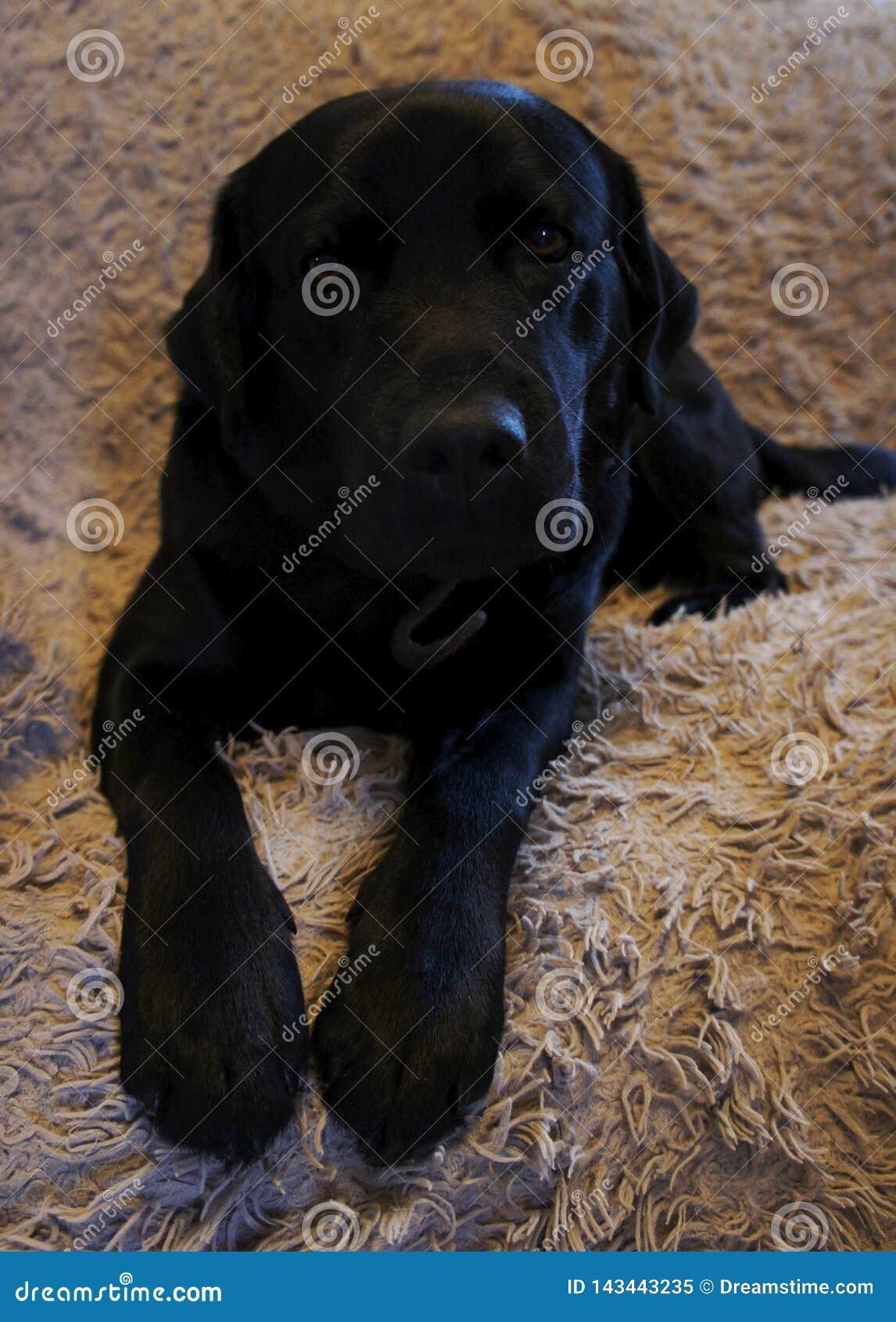 Czarny pies na kanapie