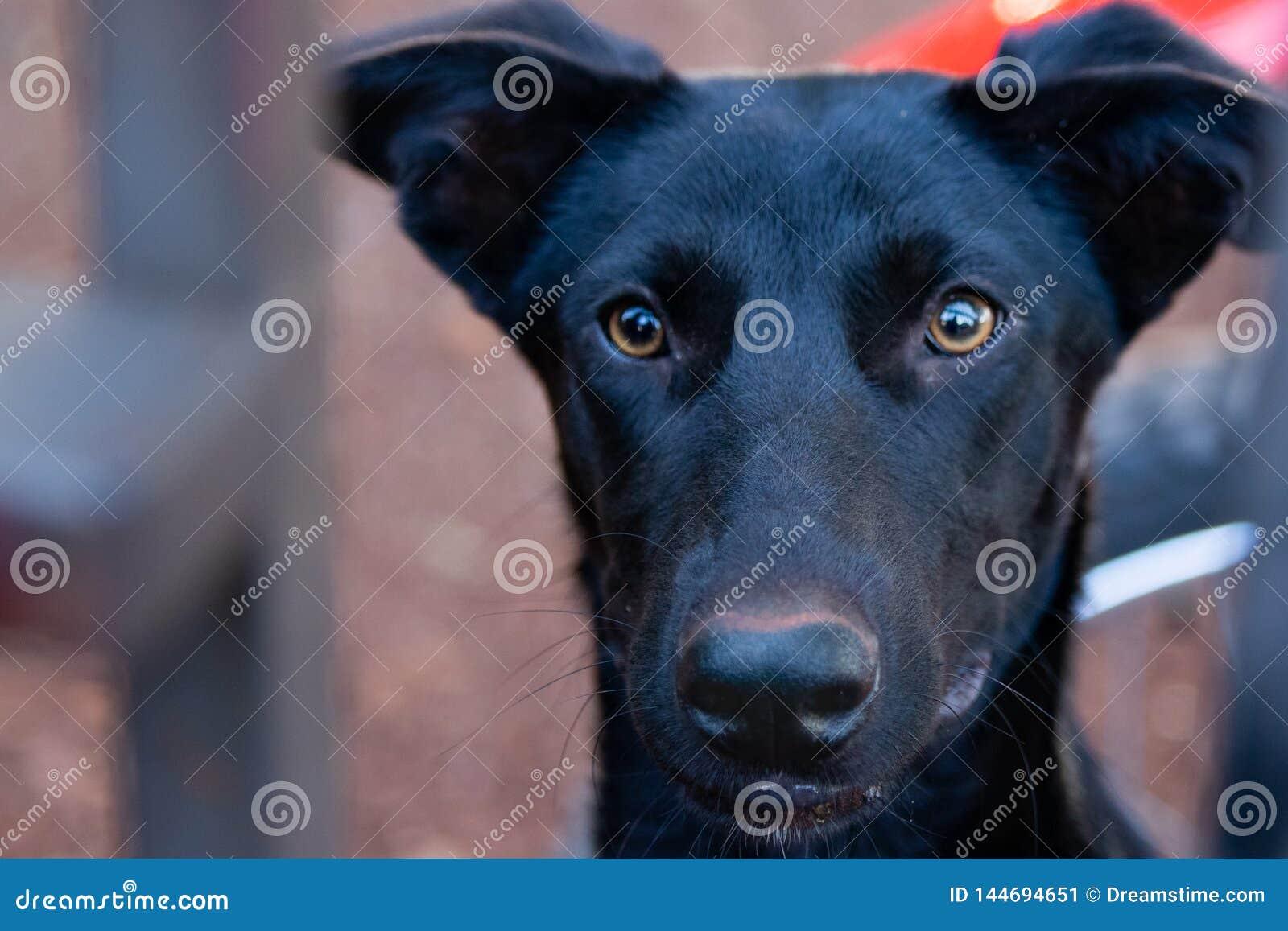 Czarny pies z żółtymi oczami