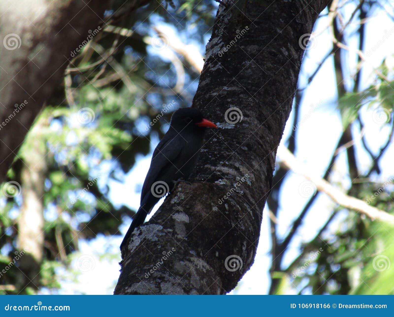 Czarny ptak w drzewie, Brazylia Ameryka Południowa