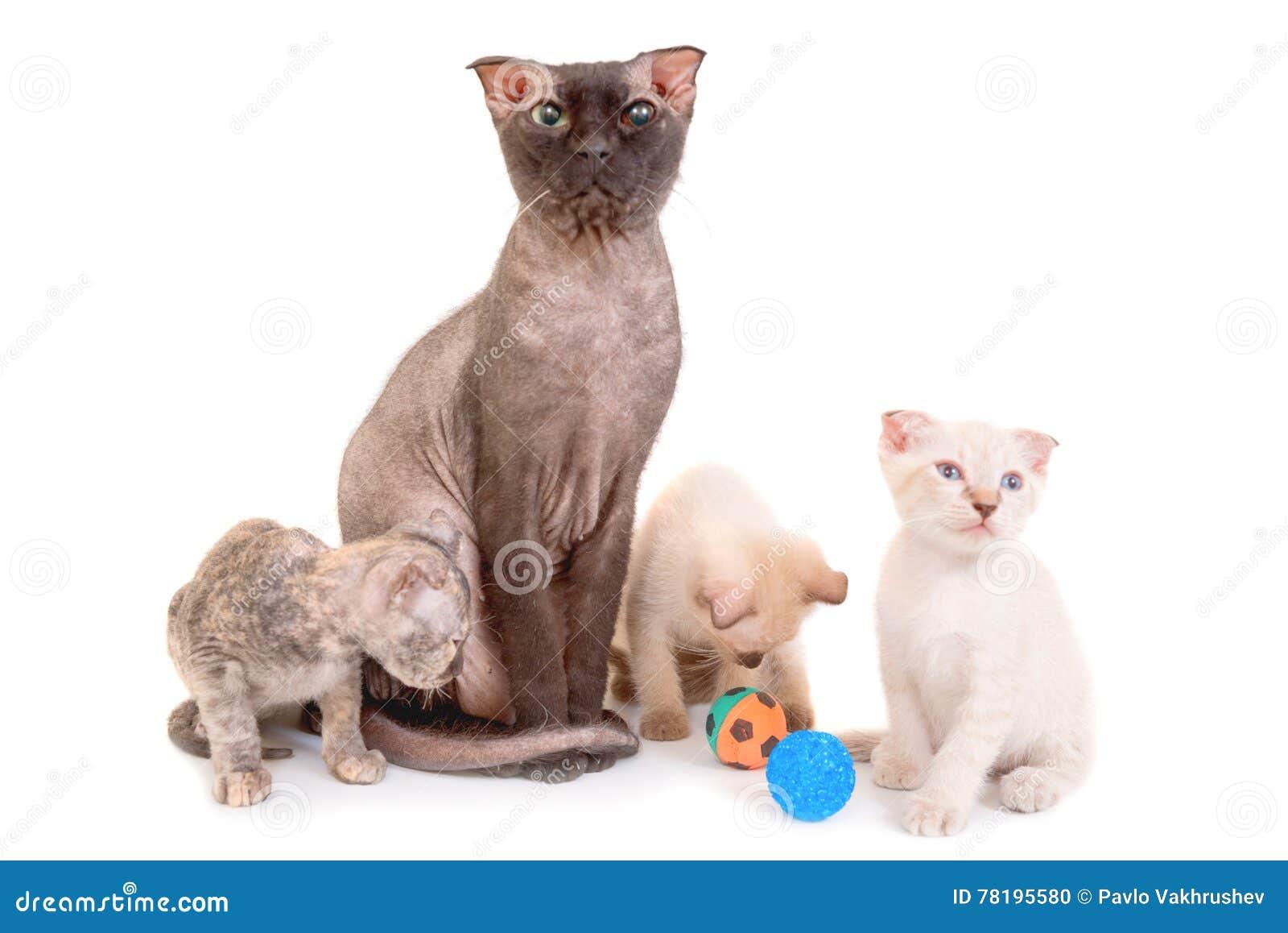 Czarny Purebred Sfinksa Kot Z Trzy Figlarkami Zdjęcie Stock Obraz