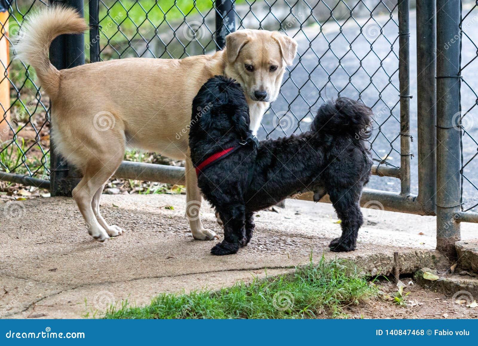Czarny Shih Tzu i Mutt pies bawić się w parku na wiośnie